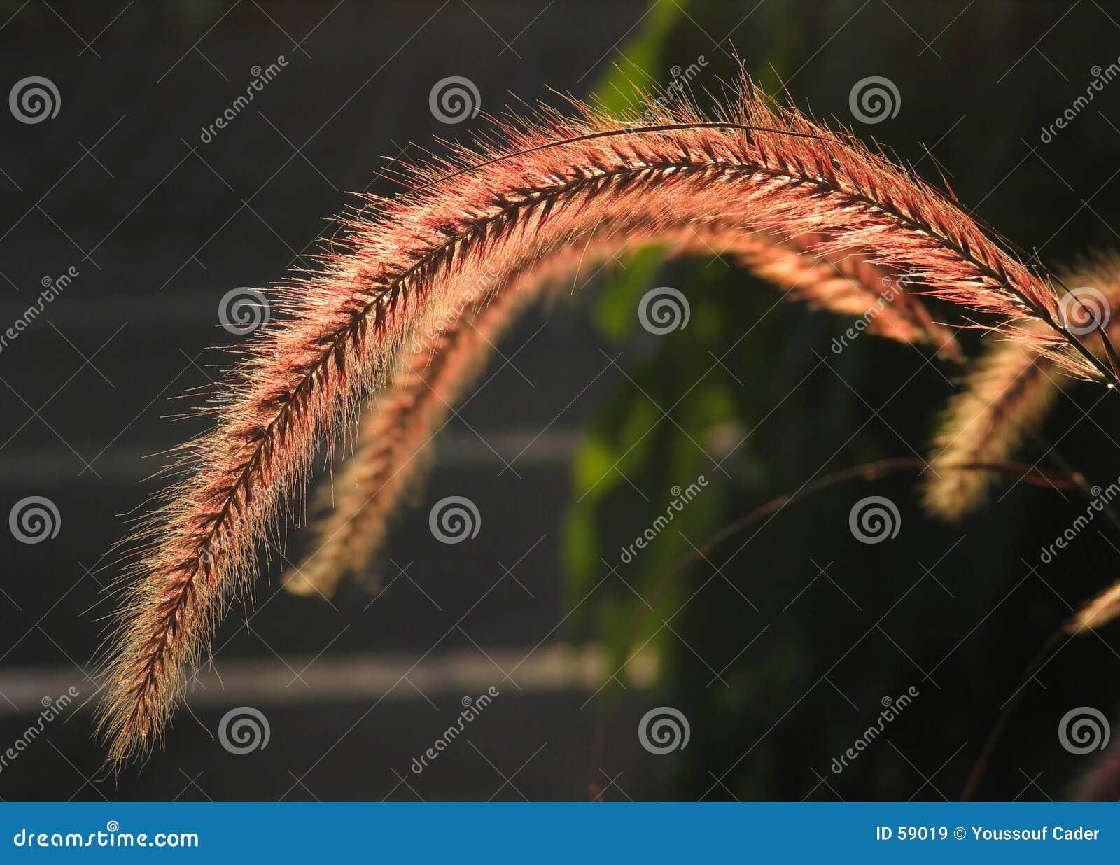 Familia de hierba flower-1210