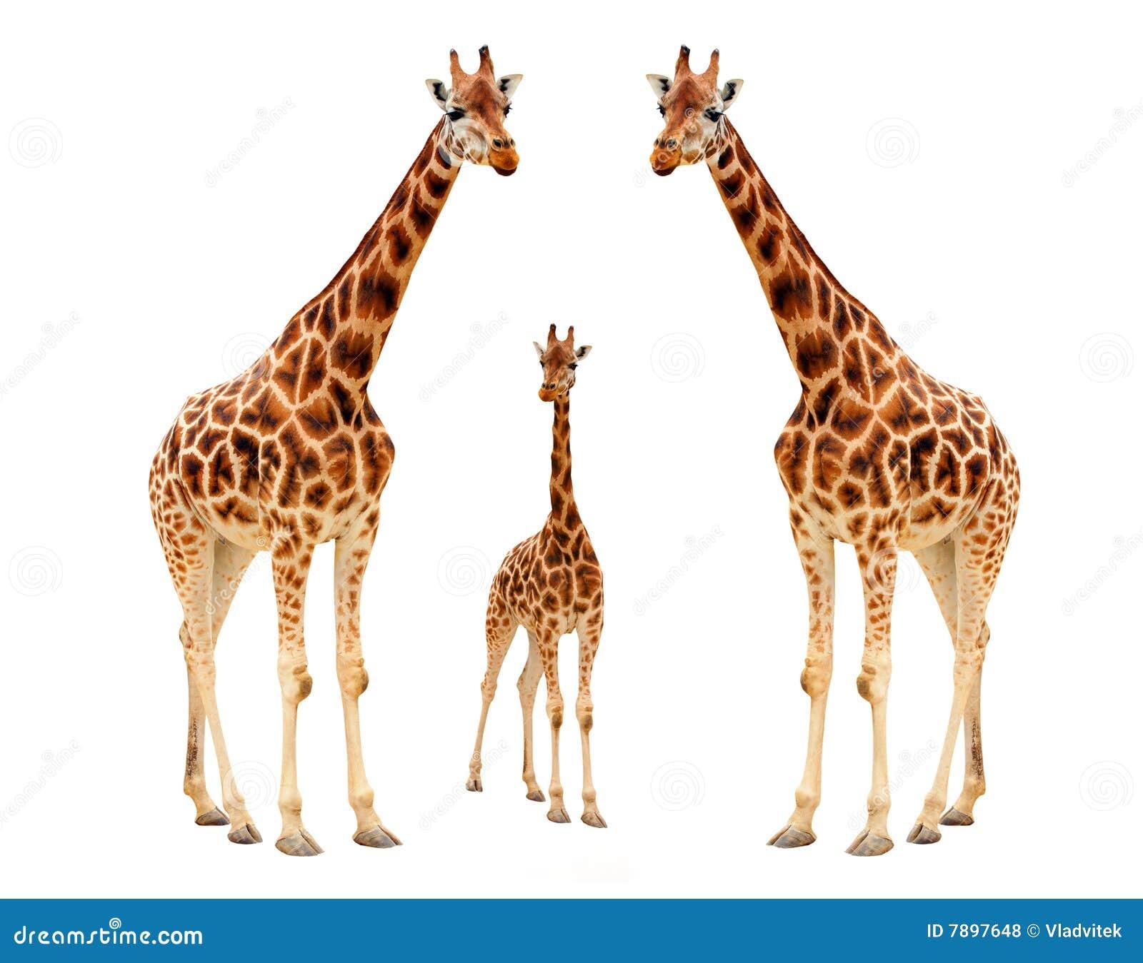 Familia de la jirafa fotos de archivo libres de regal as for Taxonomia de la jirafa