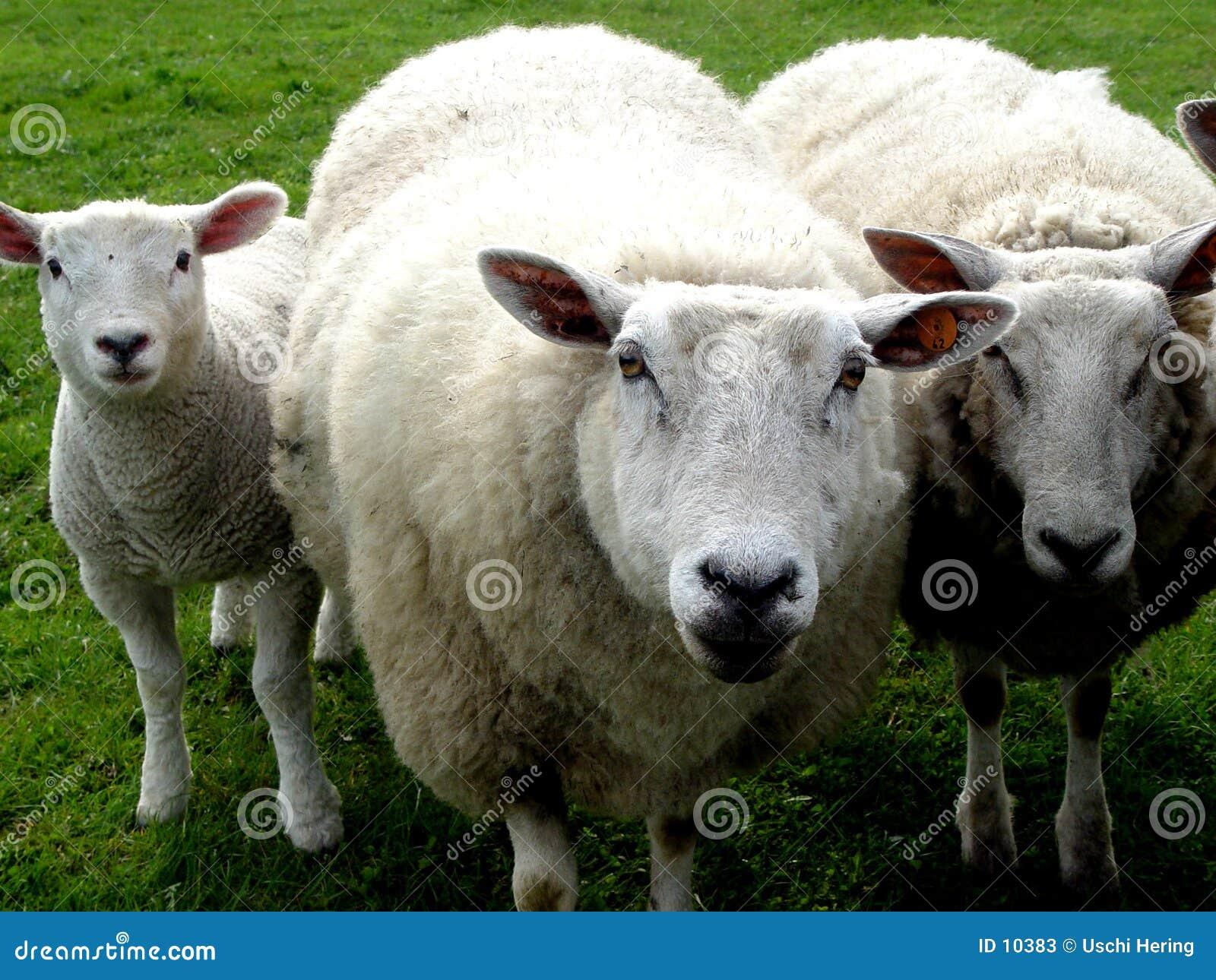 Familia de las lanas