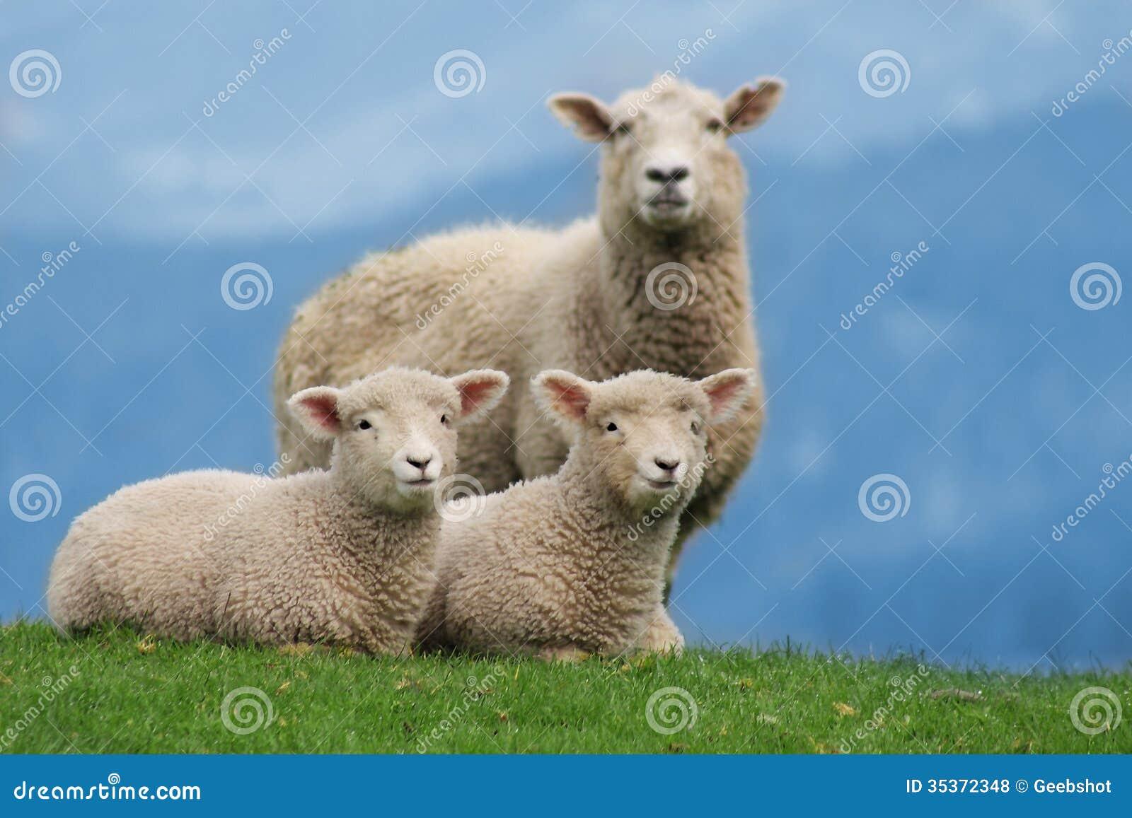 Familia de las ovejas en Nueva Zelanda, con los corderos jovenes