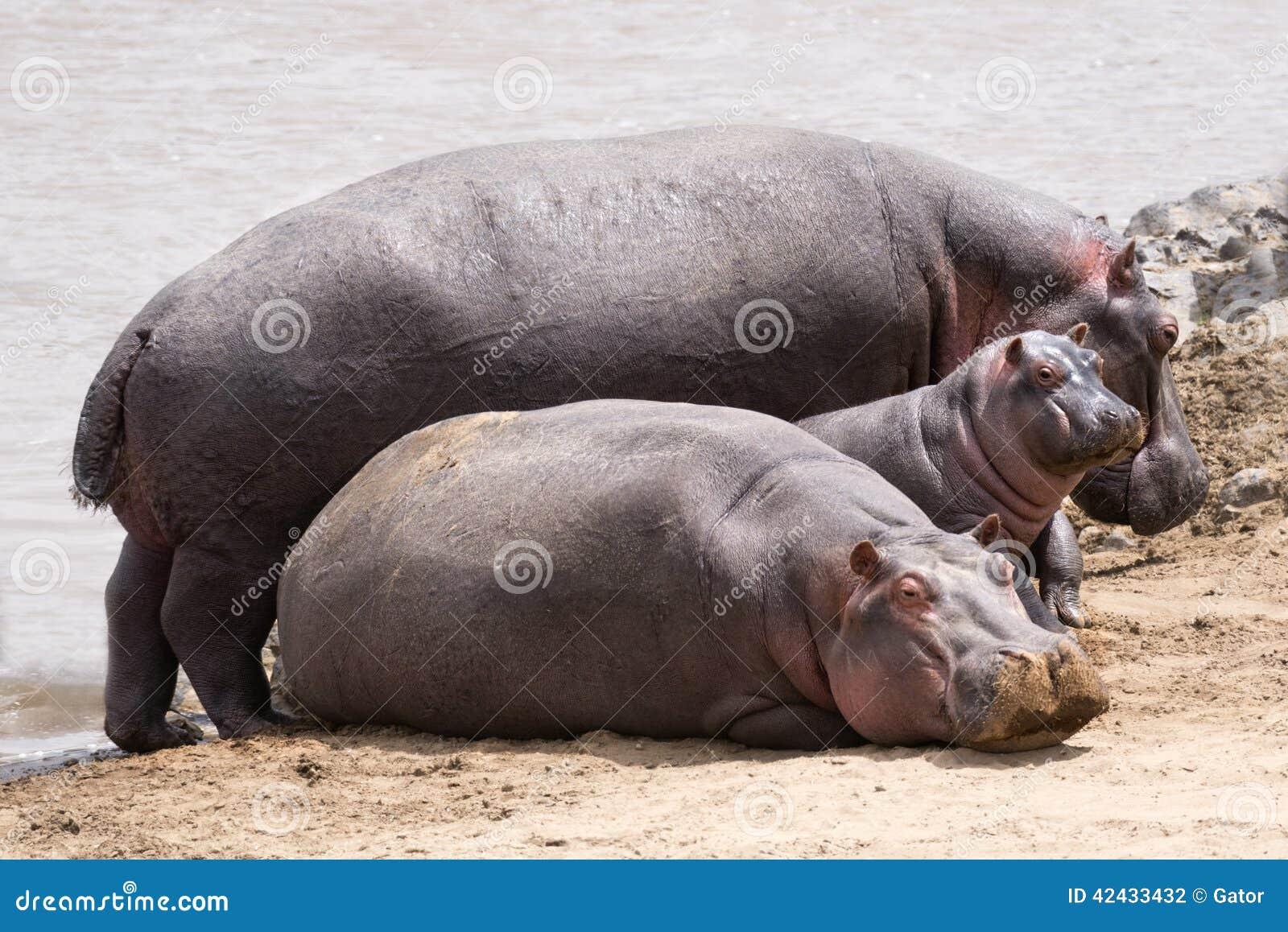 Familia de los hipopótamos