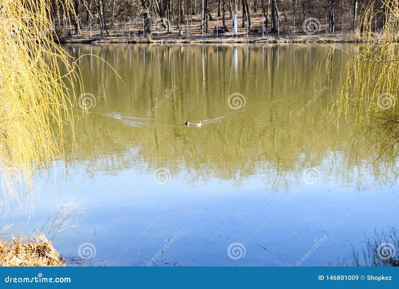 Familia de los patos en el lago del parque en un día de primavera soleado