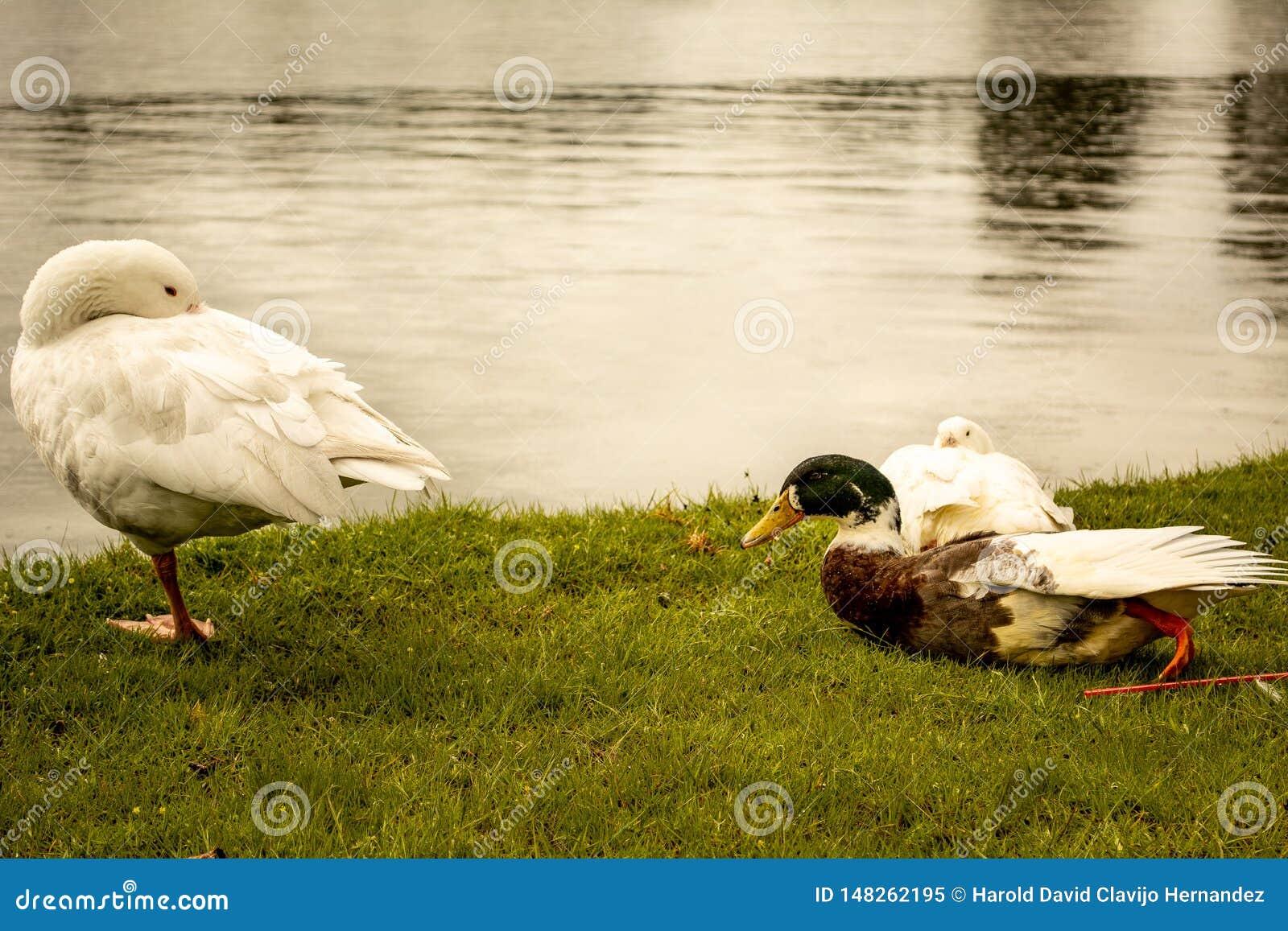 Familia de los patos en Sunny Day