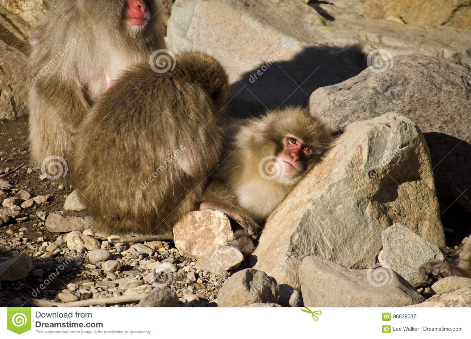 Familia De Monos De La Nieve Del Macaque Imagen De Archivo Imagen