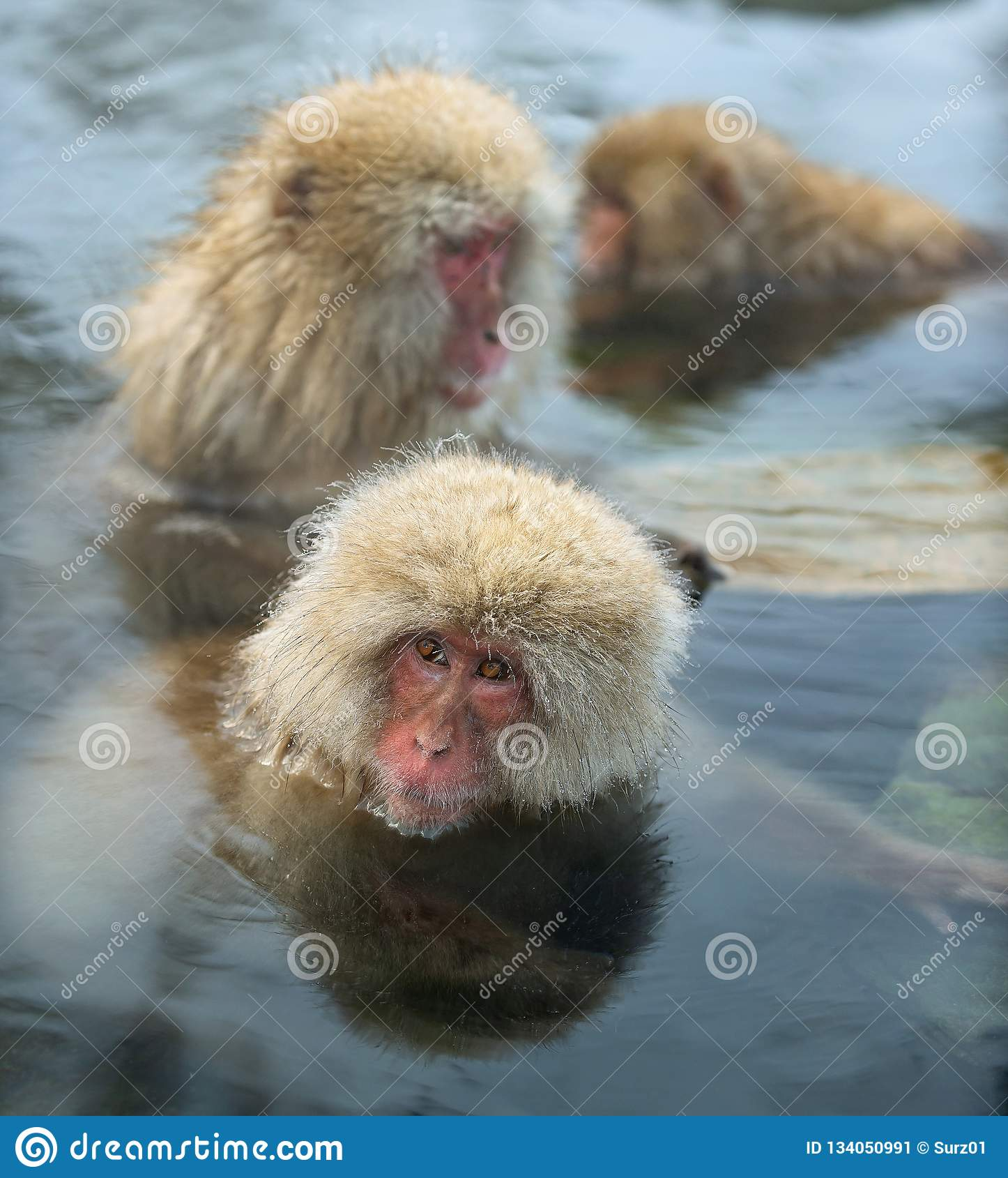 Familia De Monos De La Nieve En El Agua De Aguas Termales Naturales