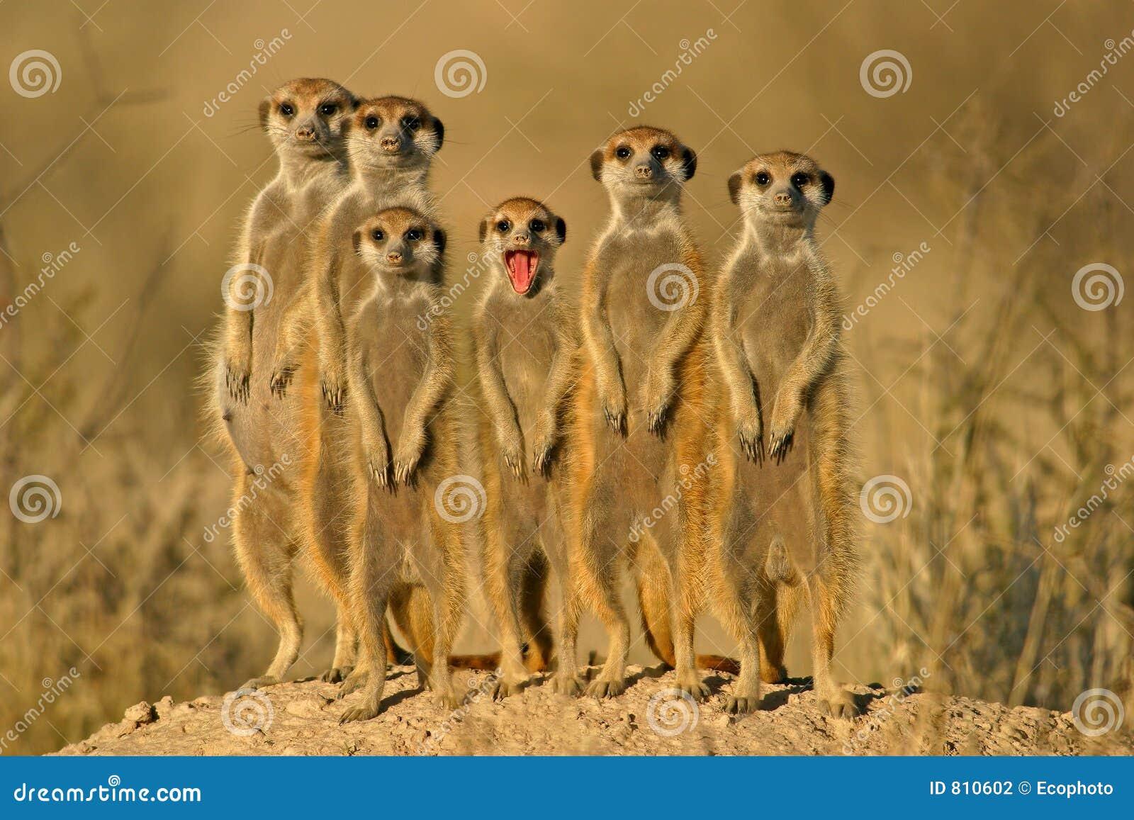 Familia de Suricate (meerkat)