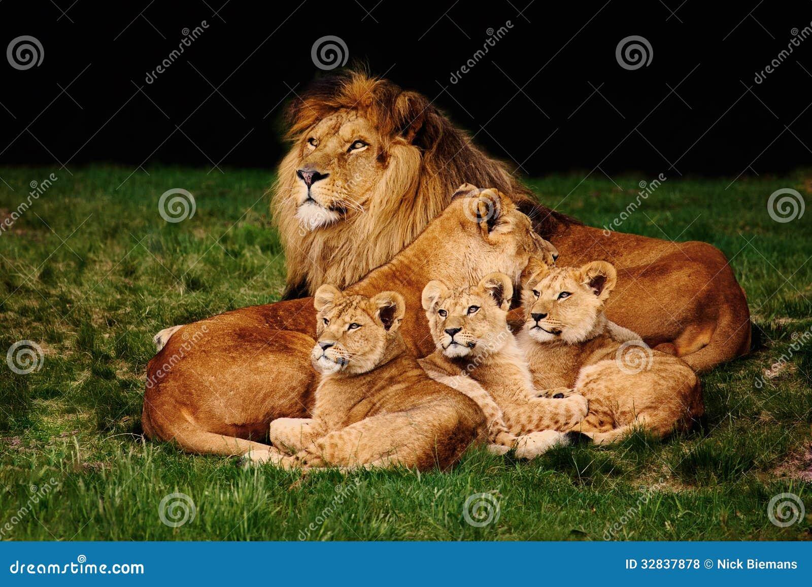 Familia del león que miente en la hierba
