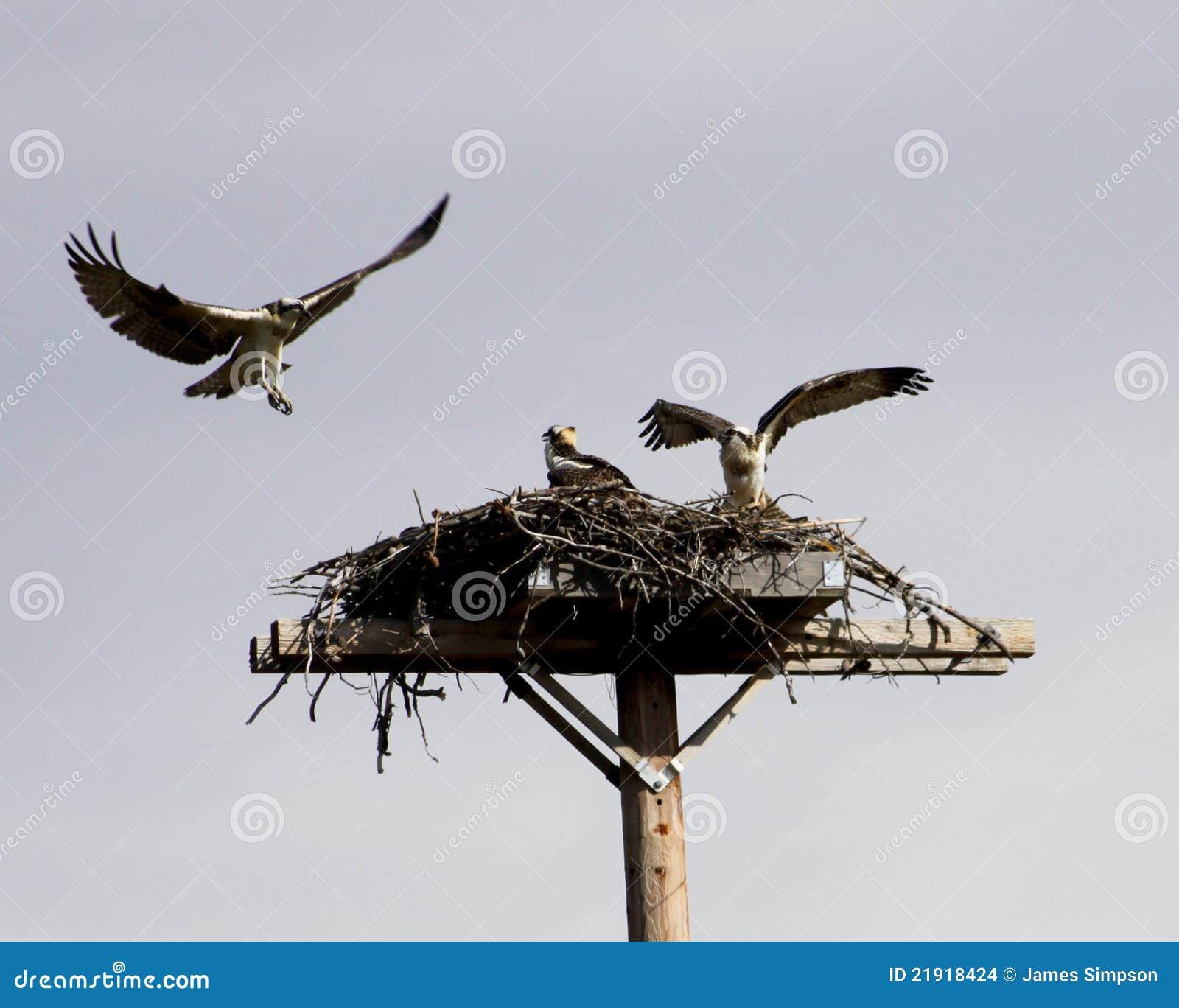 Familia del Osprey