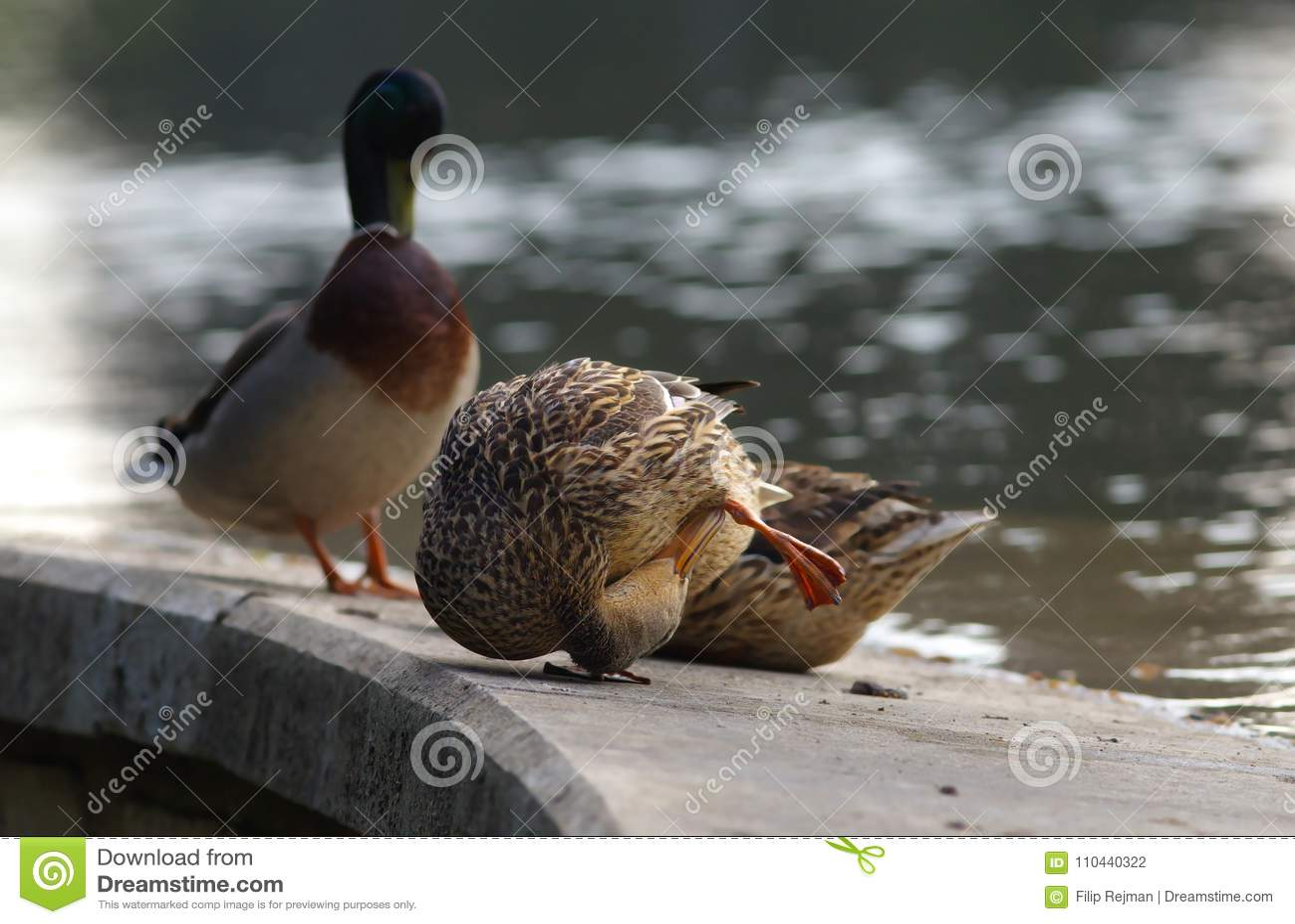 Familia del pato