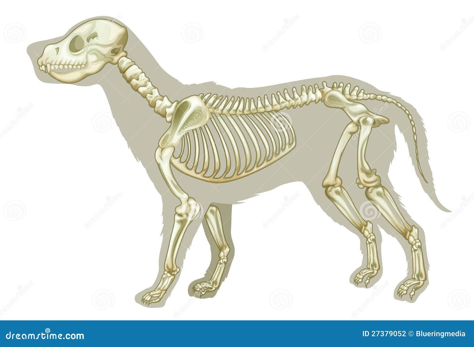 Familiaris Del Lupus De Canis - Esqueleto Stock de ilustración ...