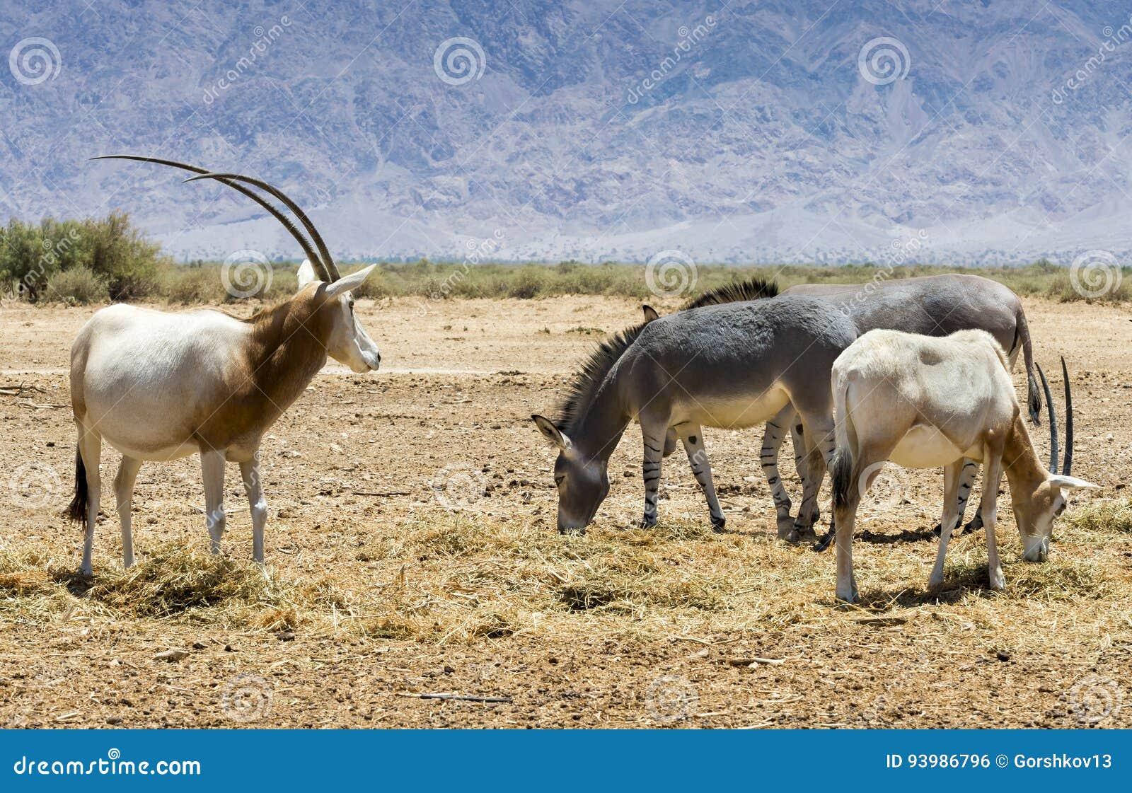 Familias de leucoryx del Oryx del Oryx del cuerno de la cimitarra del antílope y de africanus salvaje somalí del Equus del burro