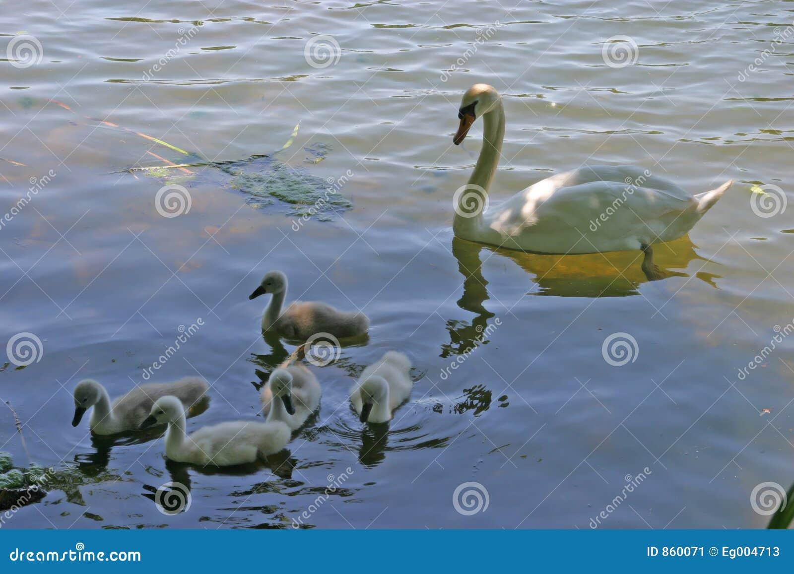 Familie der Schwäne