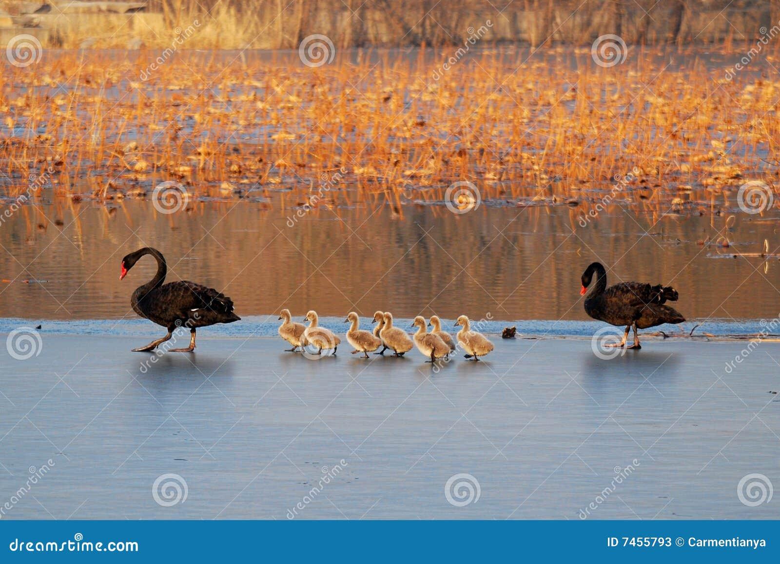 Familie des schwarzen Schwans