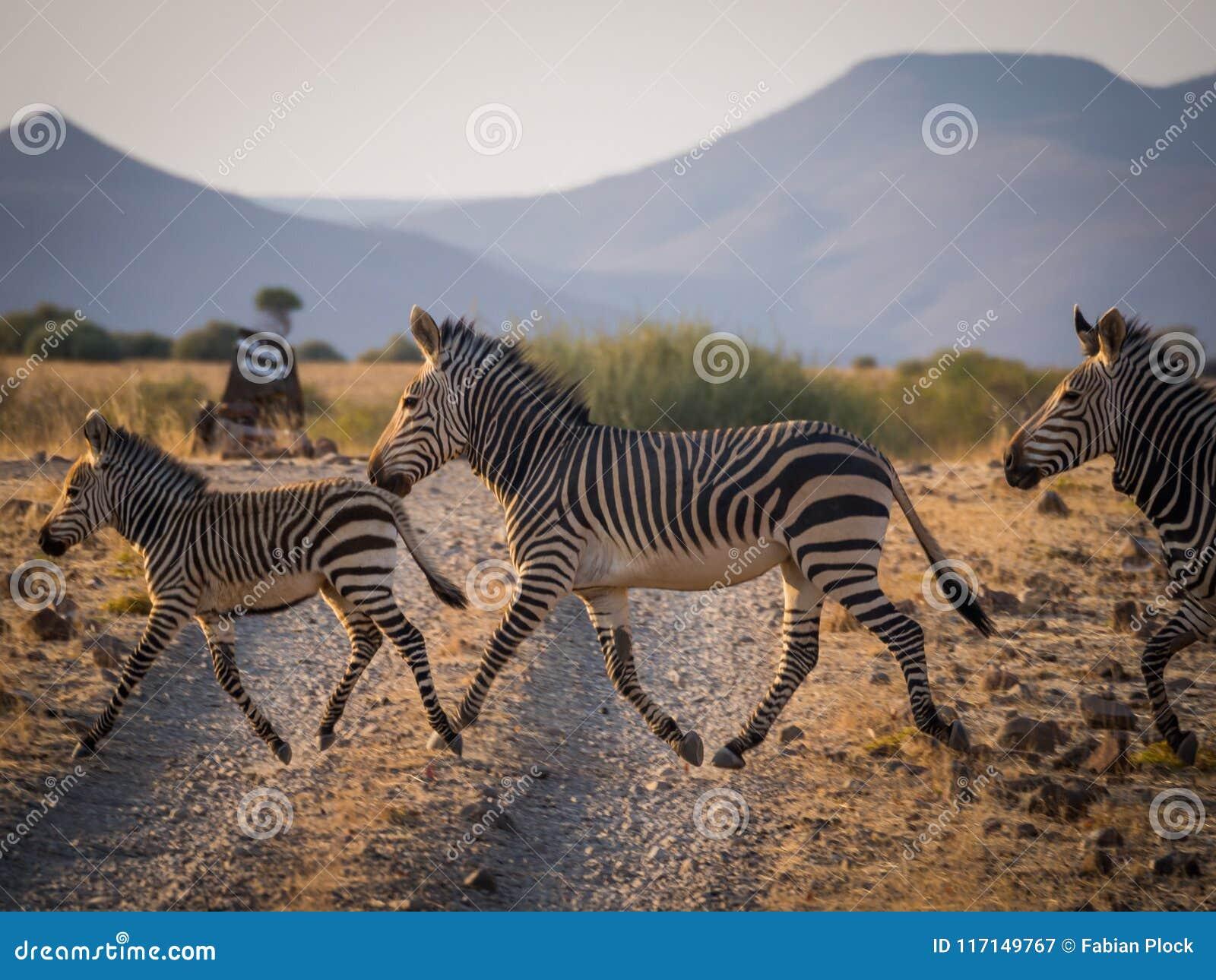 Familie die van drie zebras landweg in Palmwag-concessie kruisen tijdens middag, Namibië, Zuid-Afrika