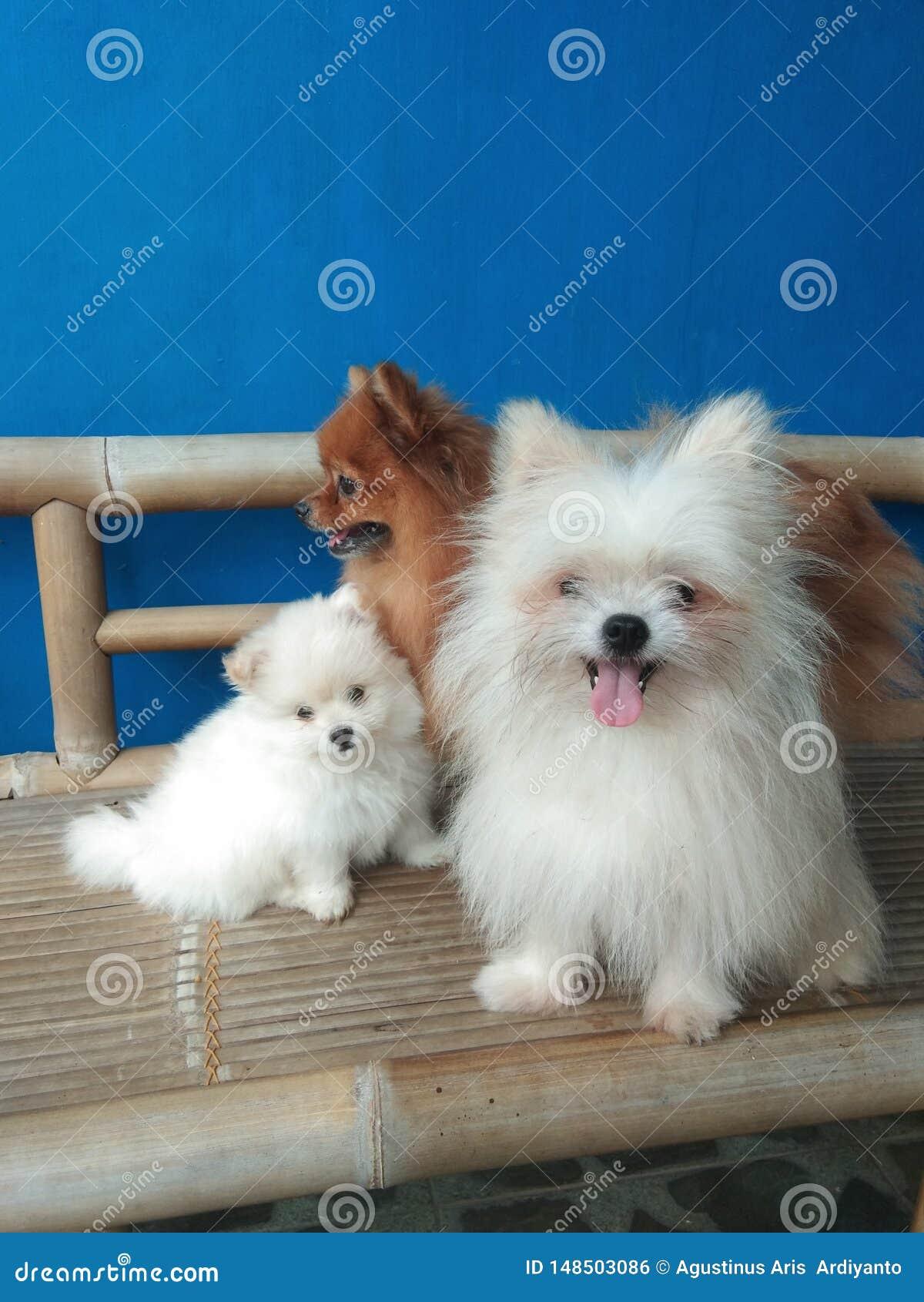 Familie von pomeranian Minihunden