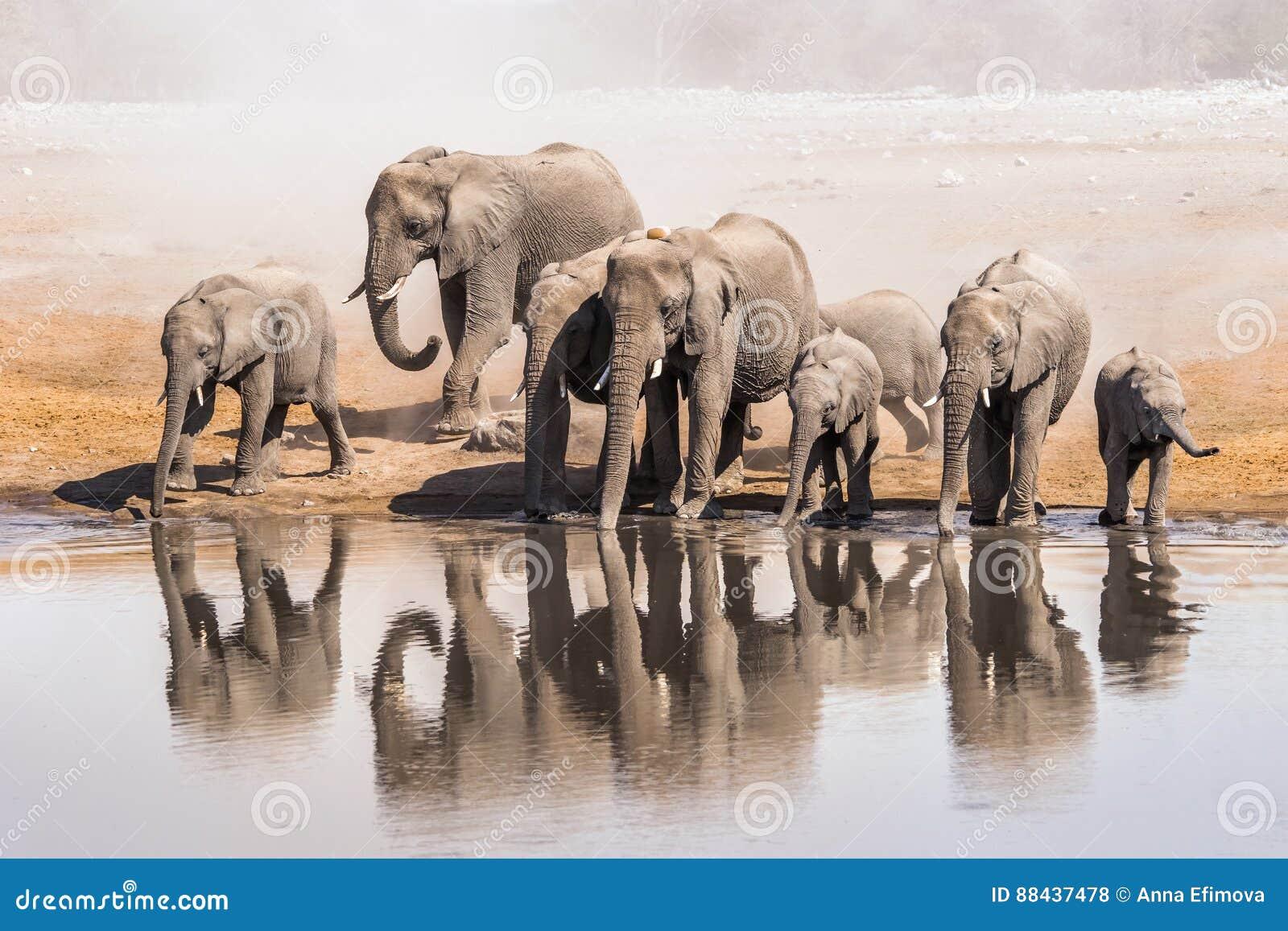 Familj av att dricka för afrikanska elefanter