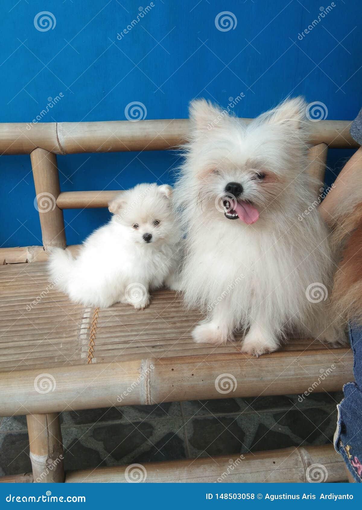 Familj av pomeranian mini- hundkapplöpning