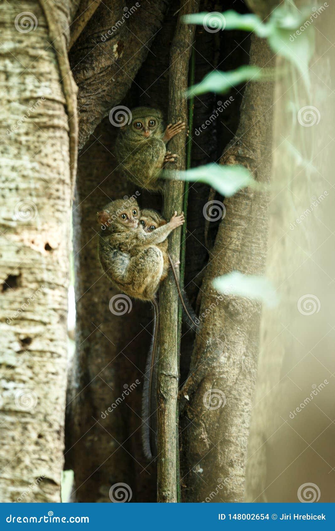 Familj av spektral- tarsiers, Tarsiusspektrum, st?ende av nattliga d?ggdjur f?r s?llsynt endemisk, liten gullig primat i stort fi