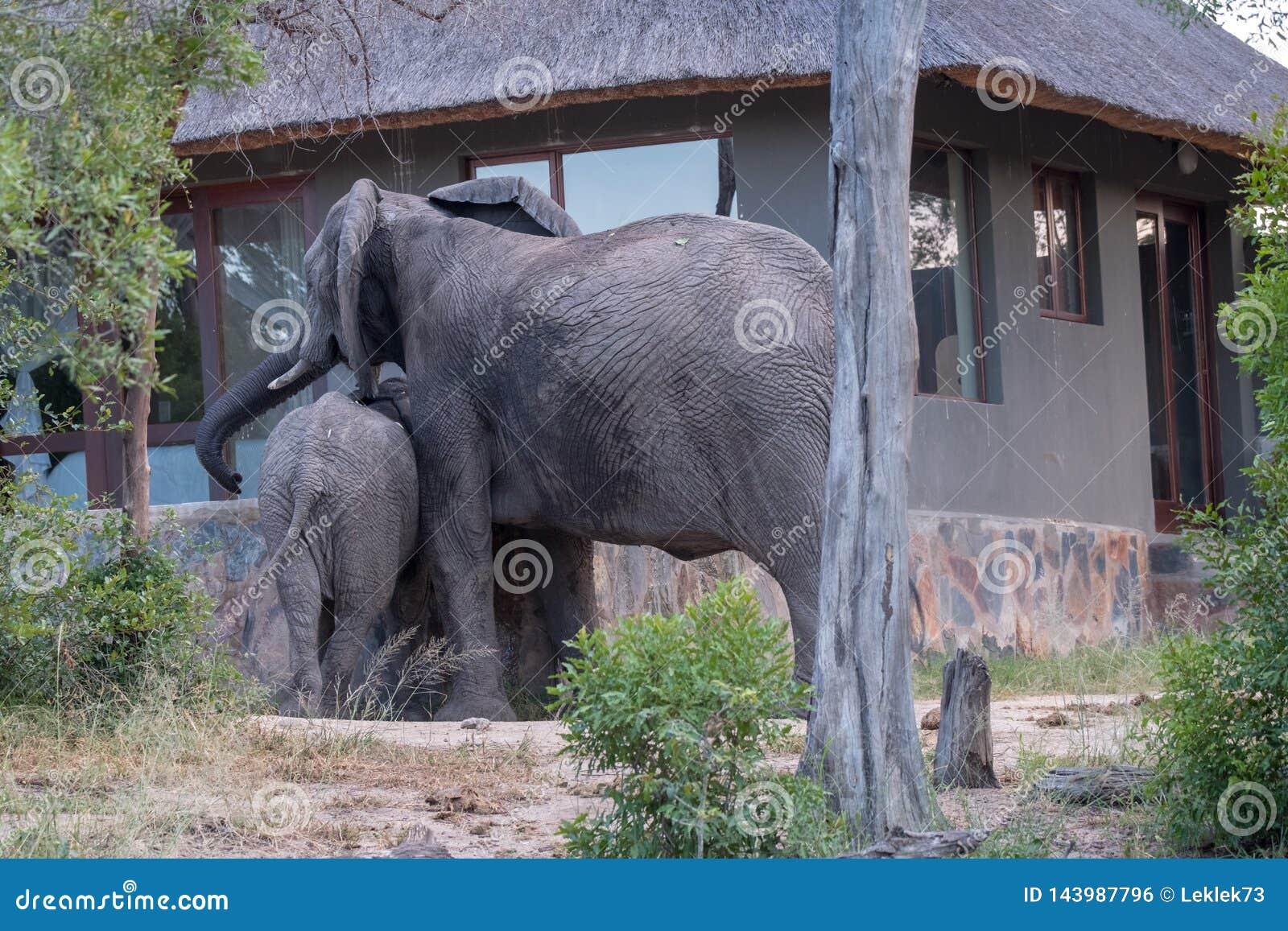 Familjgrupp av elefantdricksvatten från en dykningpöl på ett privat läger i Sabi Sand Game Reserve, Sydafrika