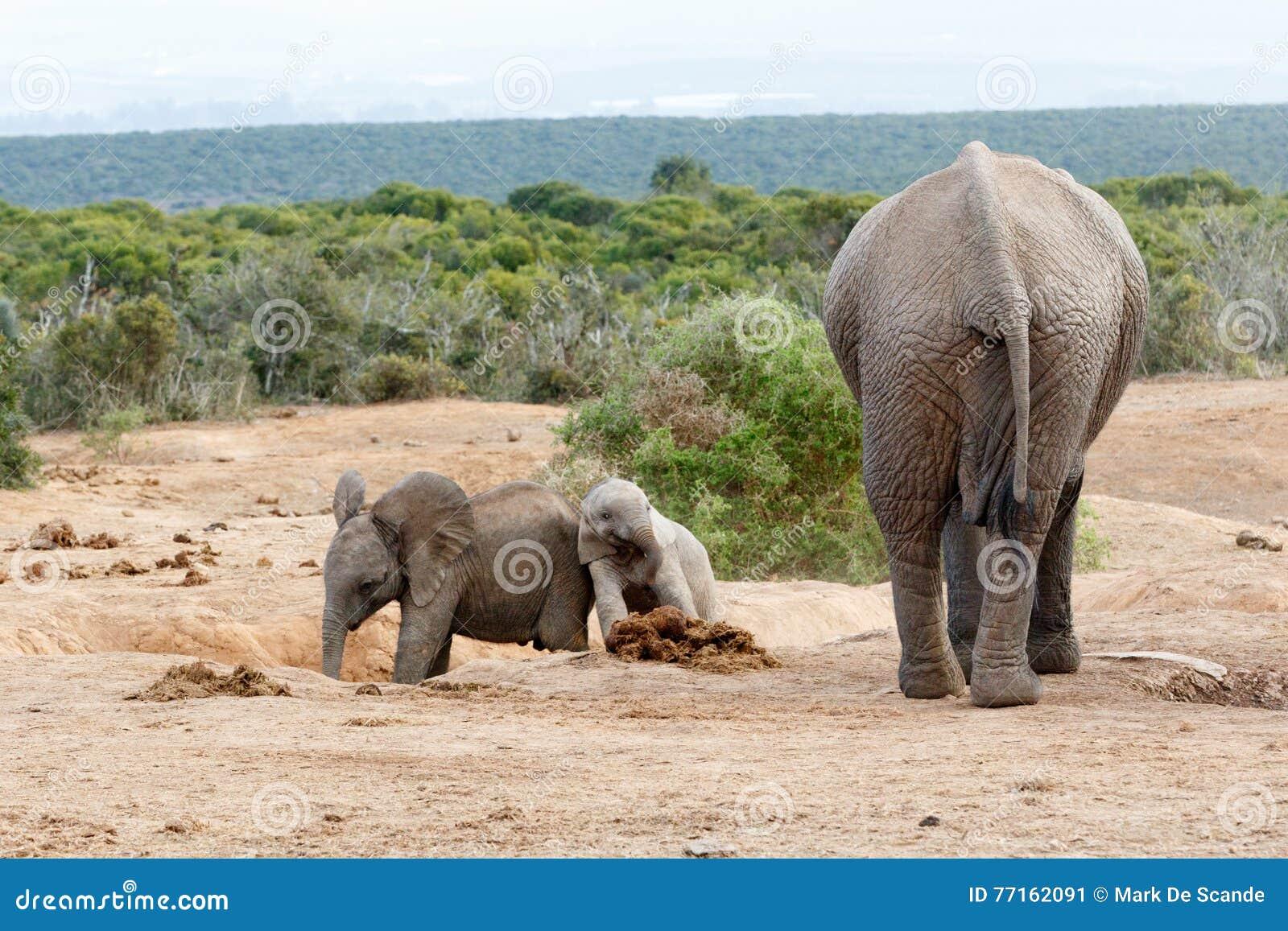 Famille d éléphant de Bush d Africain