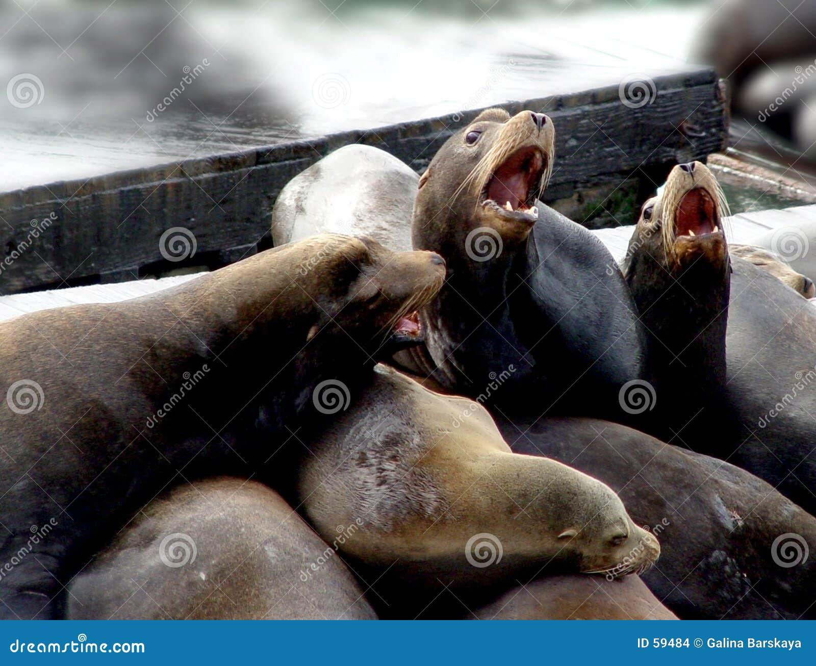Download Famille d'otarie photo stock. Image du curieux, marin, lion - 59484