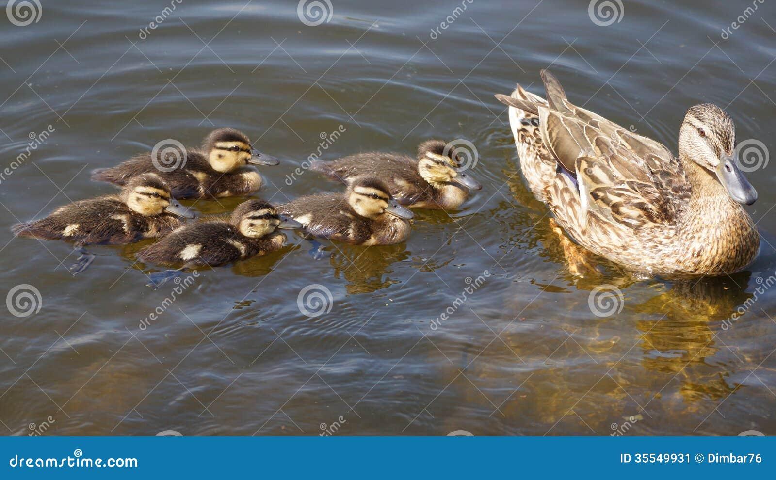 Famille de canard sur l 39 tang image stock image 35549931 for Architecture canard