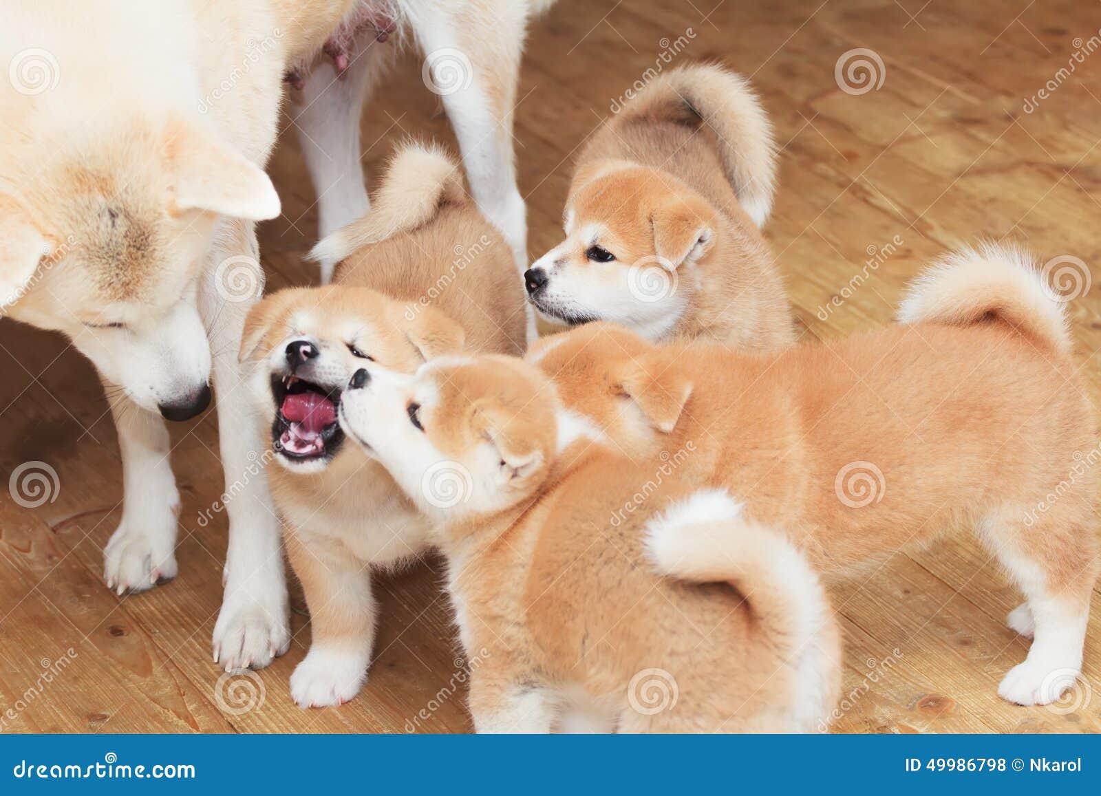 famille de chien de race d 39 akita inu de japonais photo stock image 49986798. Black Bedroom Furniture Sets. Home Design Ideas