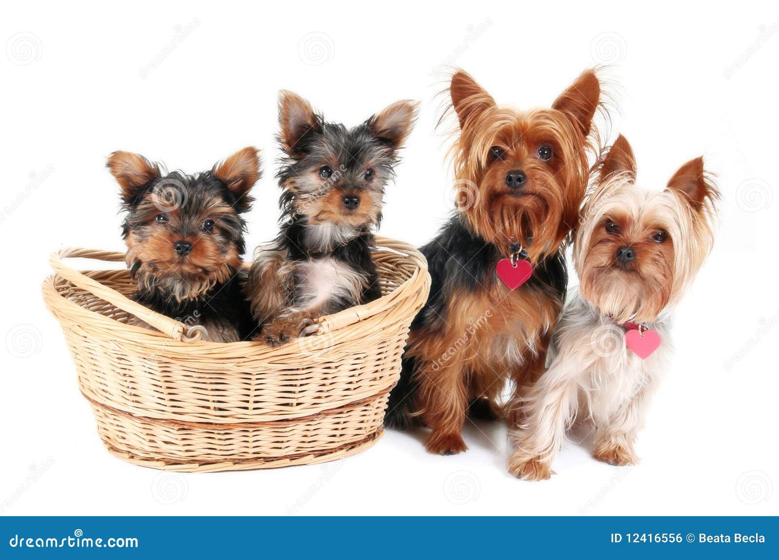 famille de chien terrier de yorkshire image libre de droits image 12416556. Black Bedroom Furniture Sets. Home Design Ideas