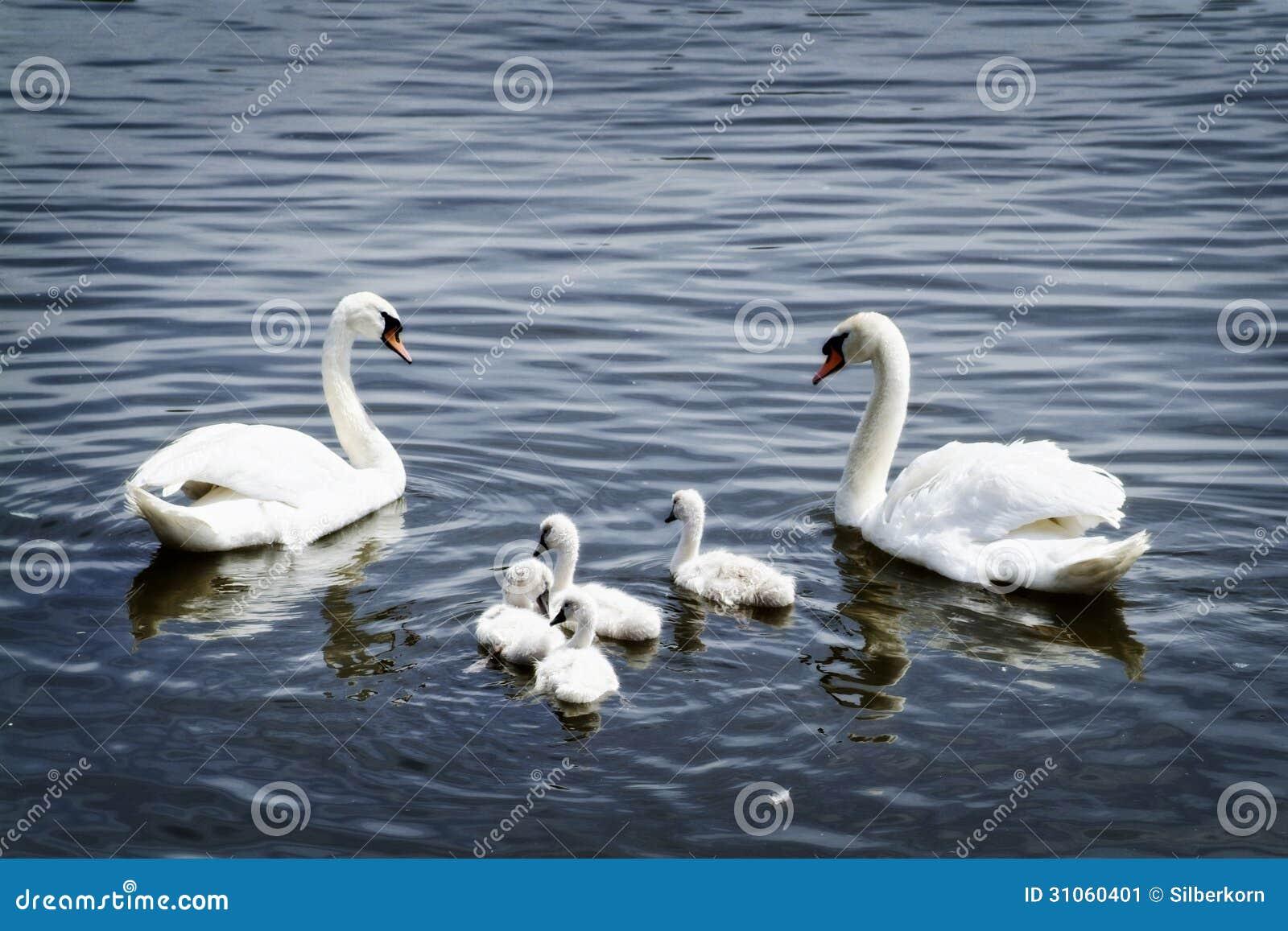 Famille de cygne