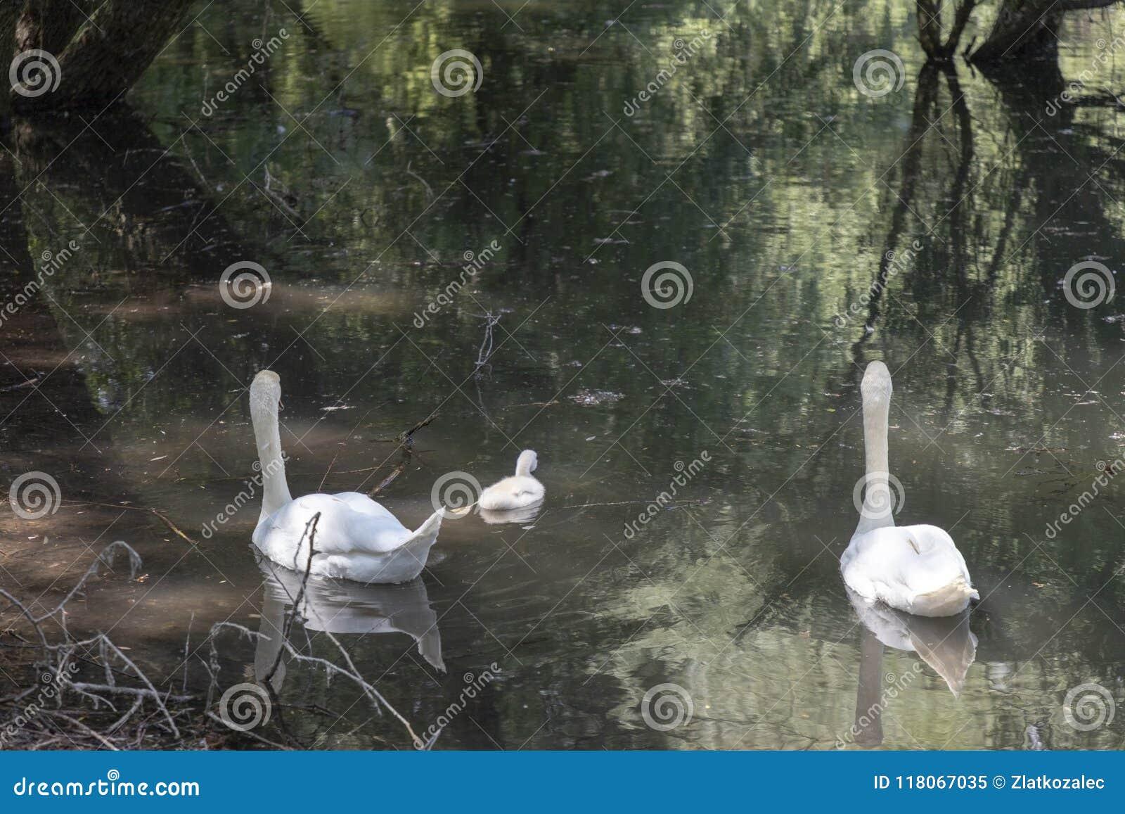 Famille de cygne dans un lac