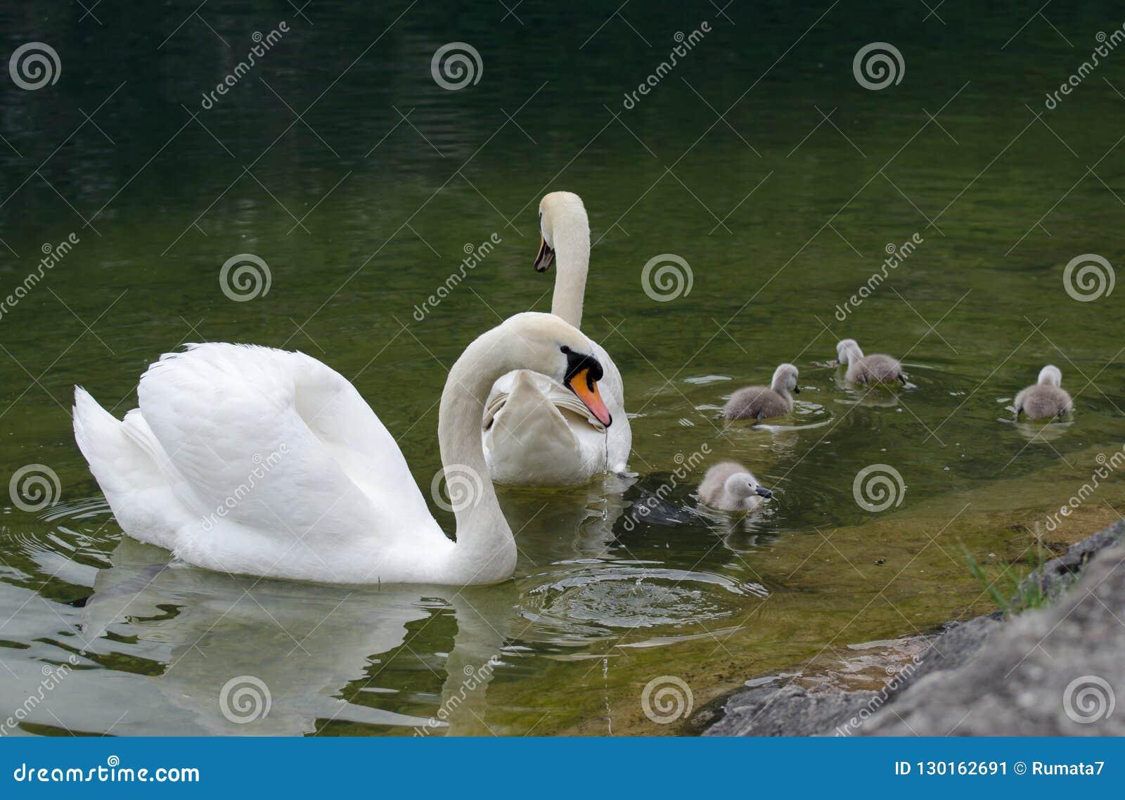 Famille de cygnes avec des jeunes cygnes au lac de hallstaettersee hallstatt