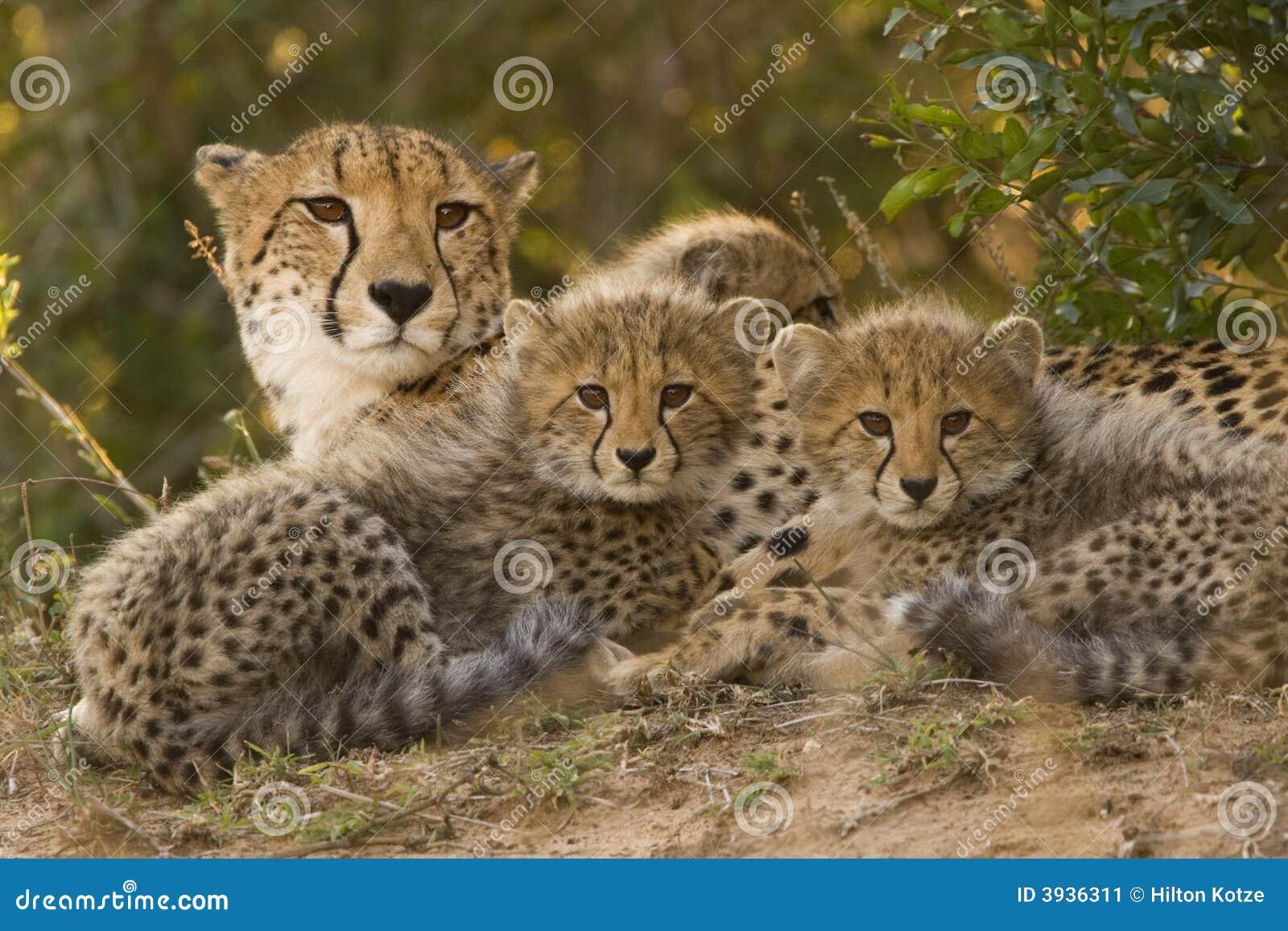 Famille de guépard