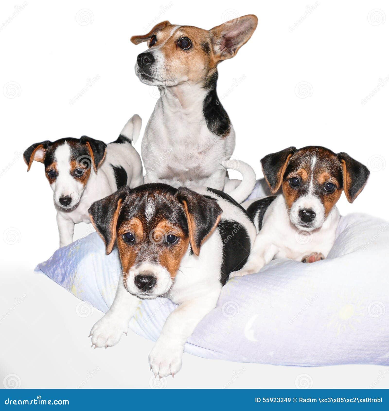 Famille de Jack Russell Terrier