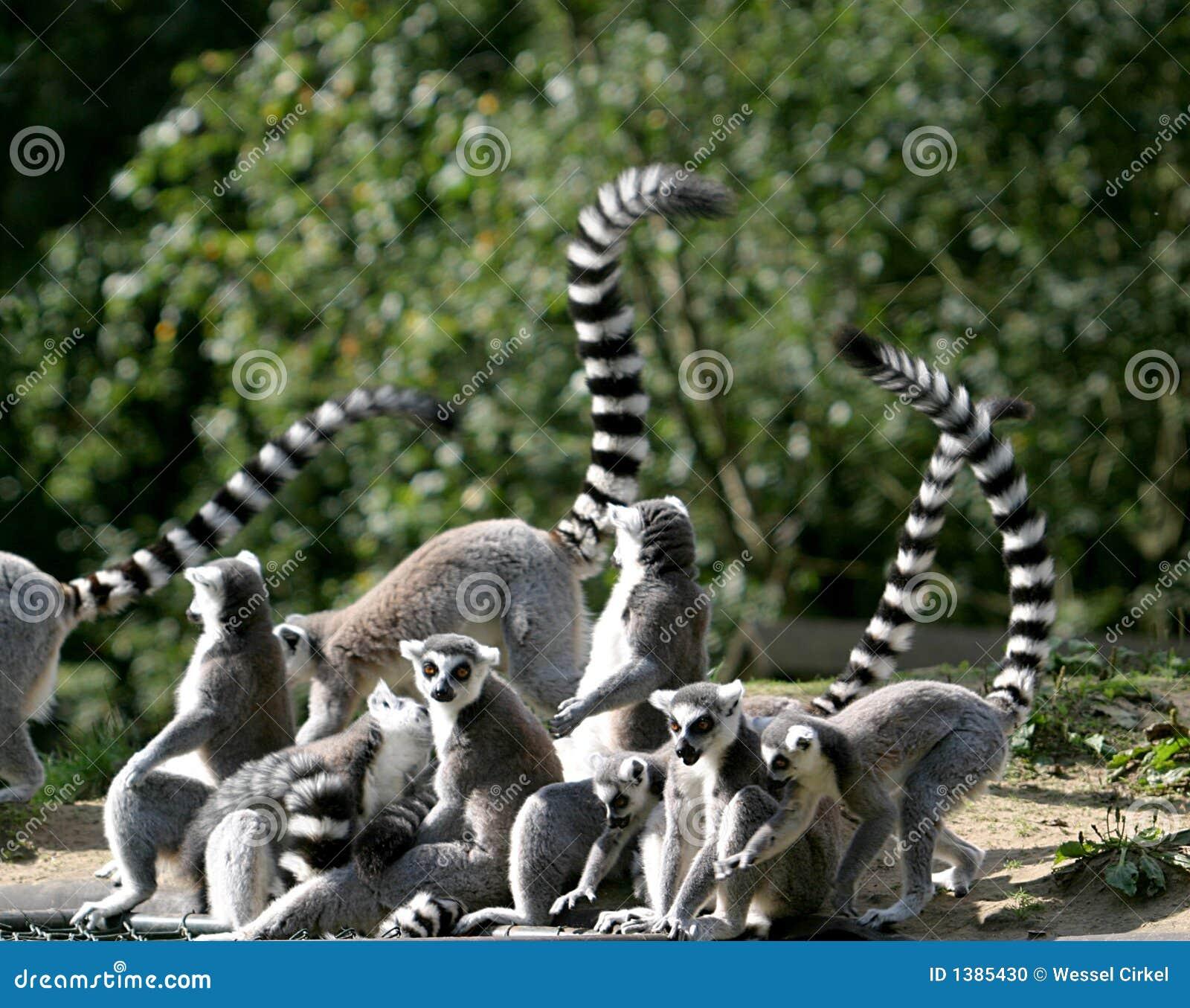 Famille de Lemur Ring-tailed