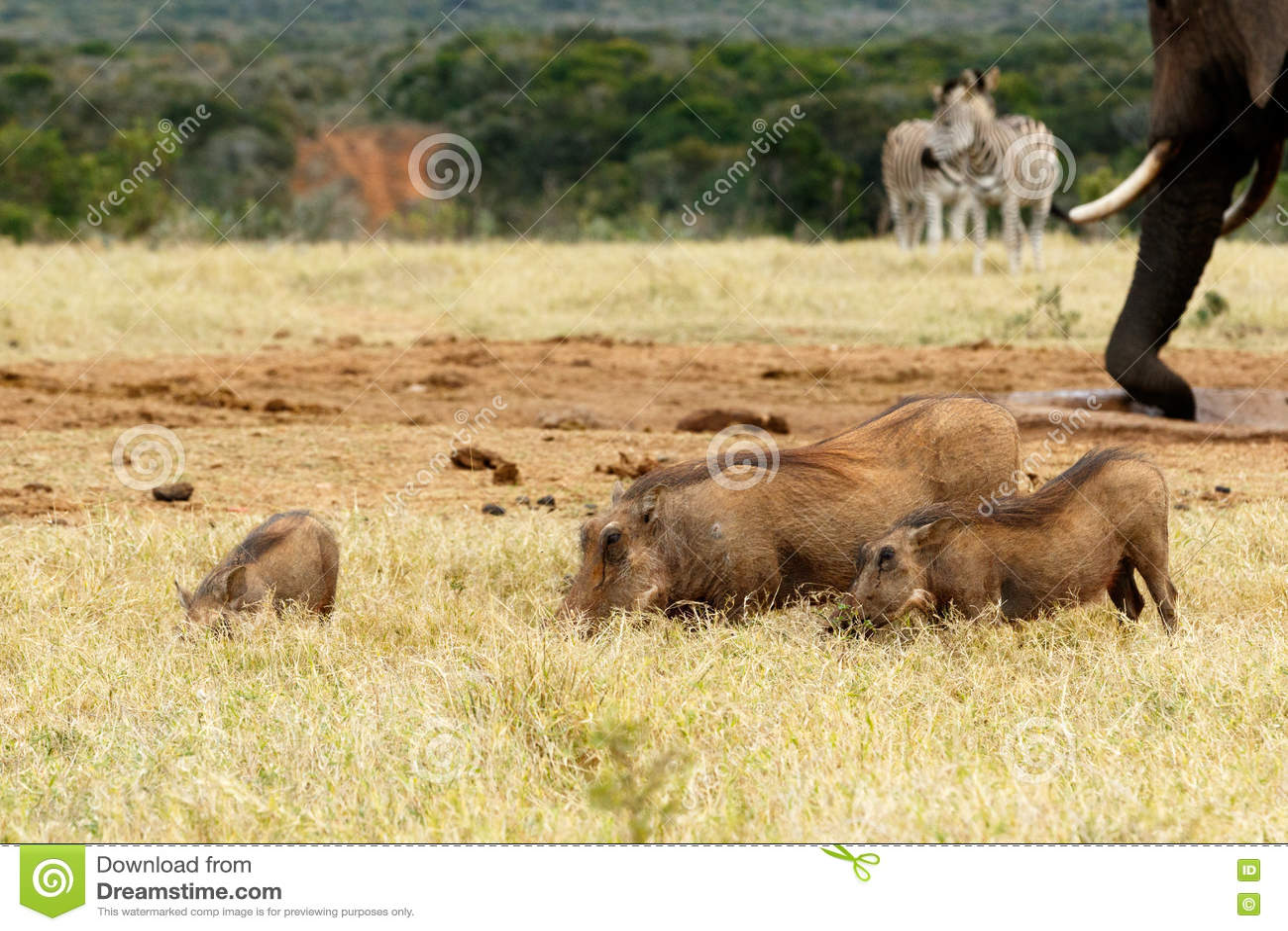 Famille de phacochère mangeant l herbe