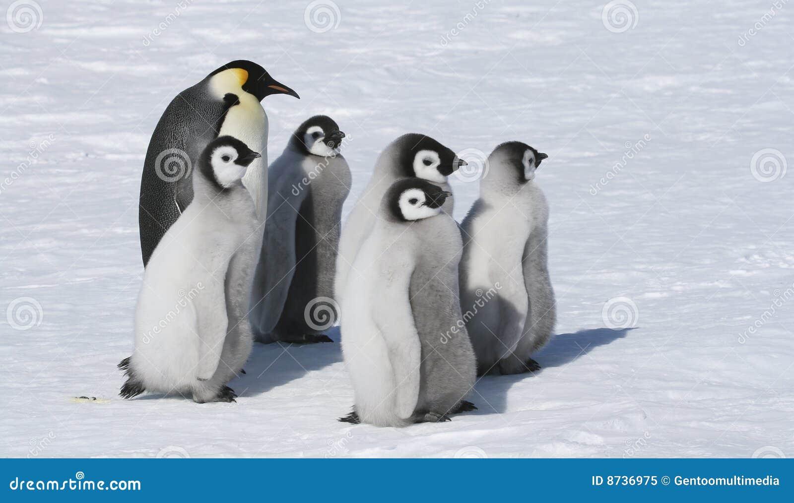 Famille de pingouin d empereur