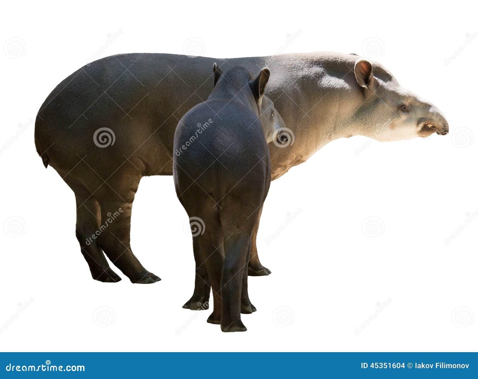 Famille de tapir D isolement