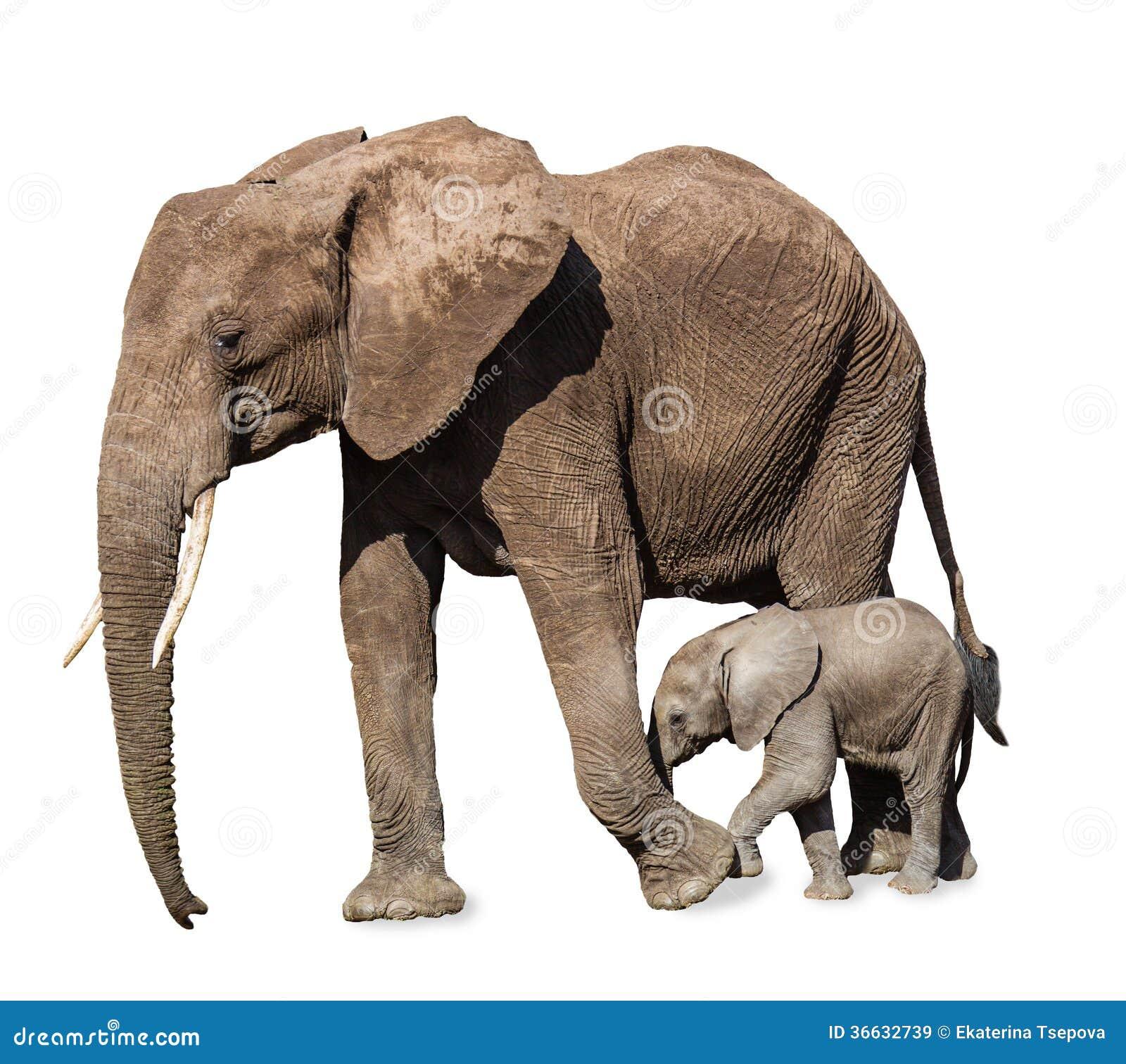 Famille des éléphants d isolement
