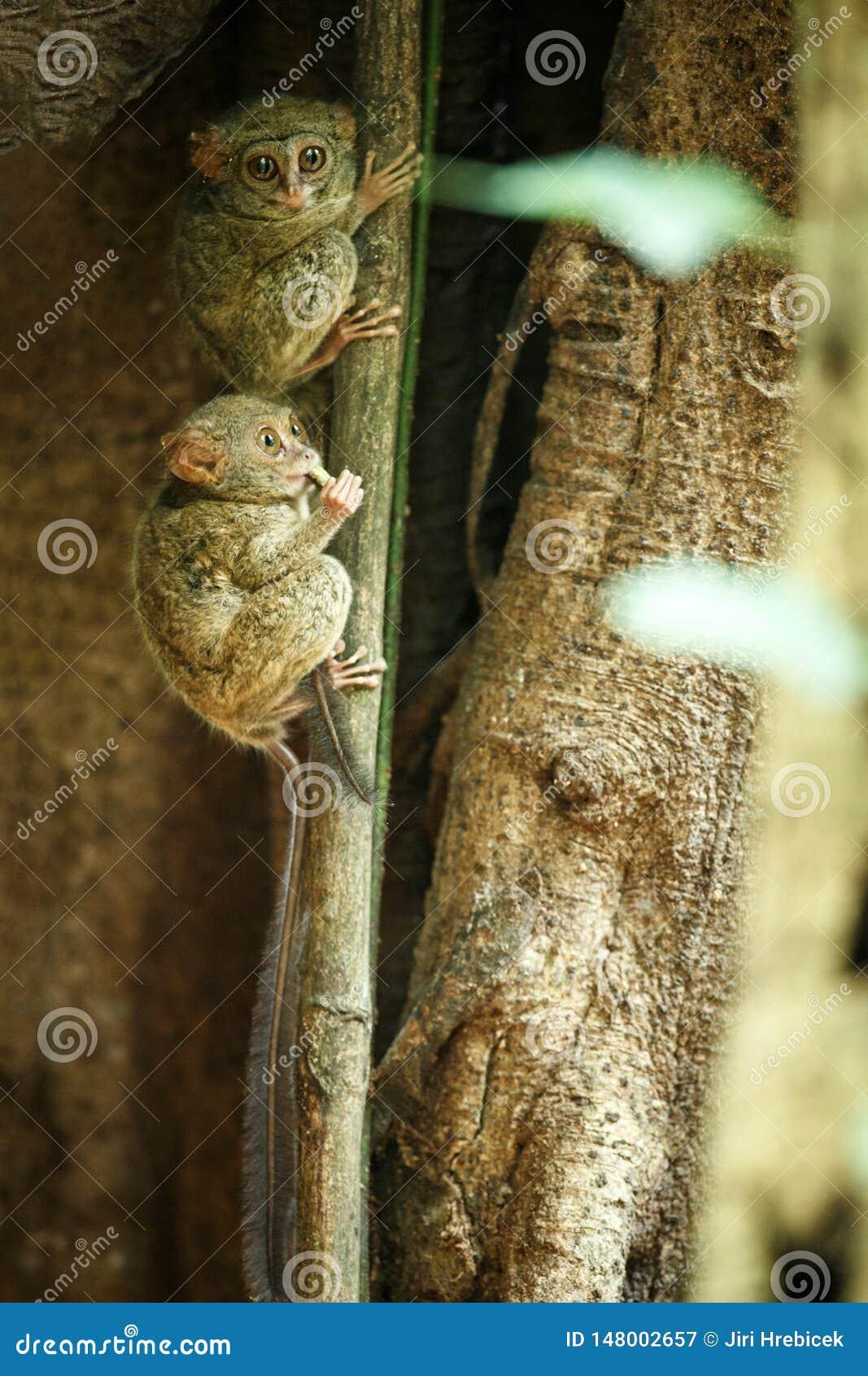 Famille des tarsiers spectraux, spectre de Tarsius, portrait des mammif?res nocturnes end?miques rares, petit primat mignon dans
