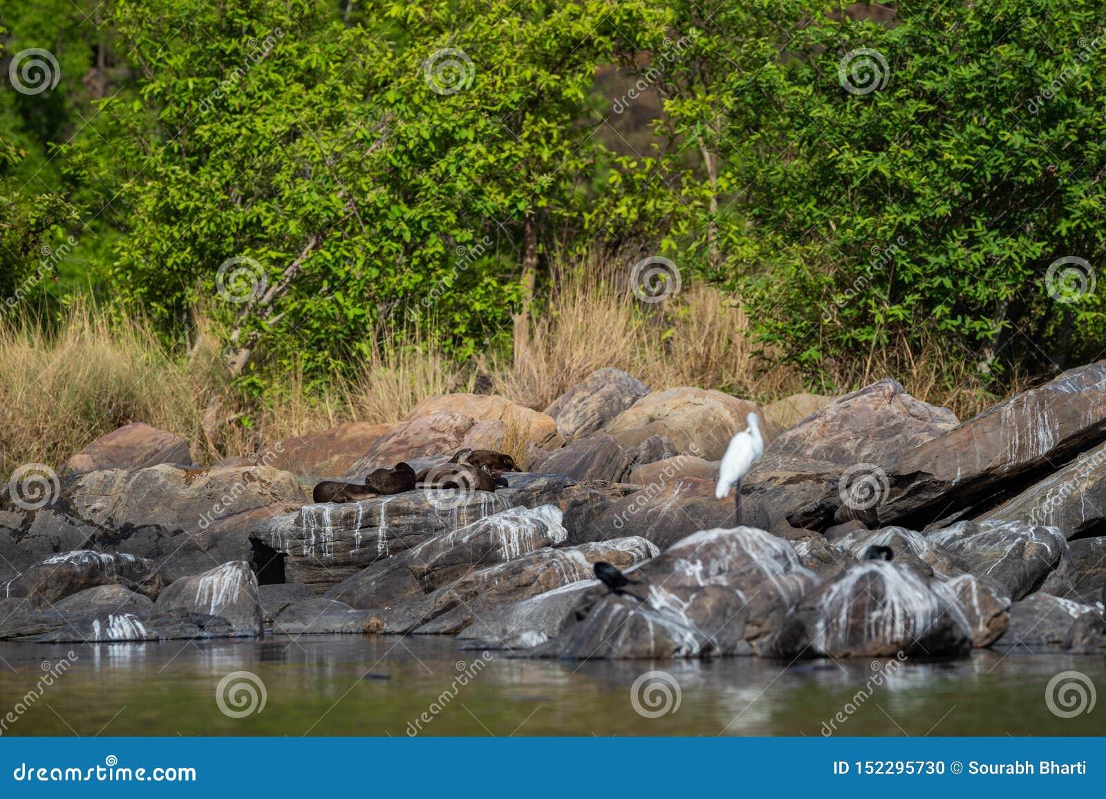 Famille enduite lisse de pers de Lutrogale de loutre se dorant en soleil sur des roches après la prise de l immersion dans l eau
