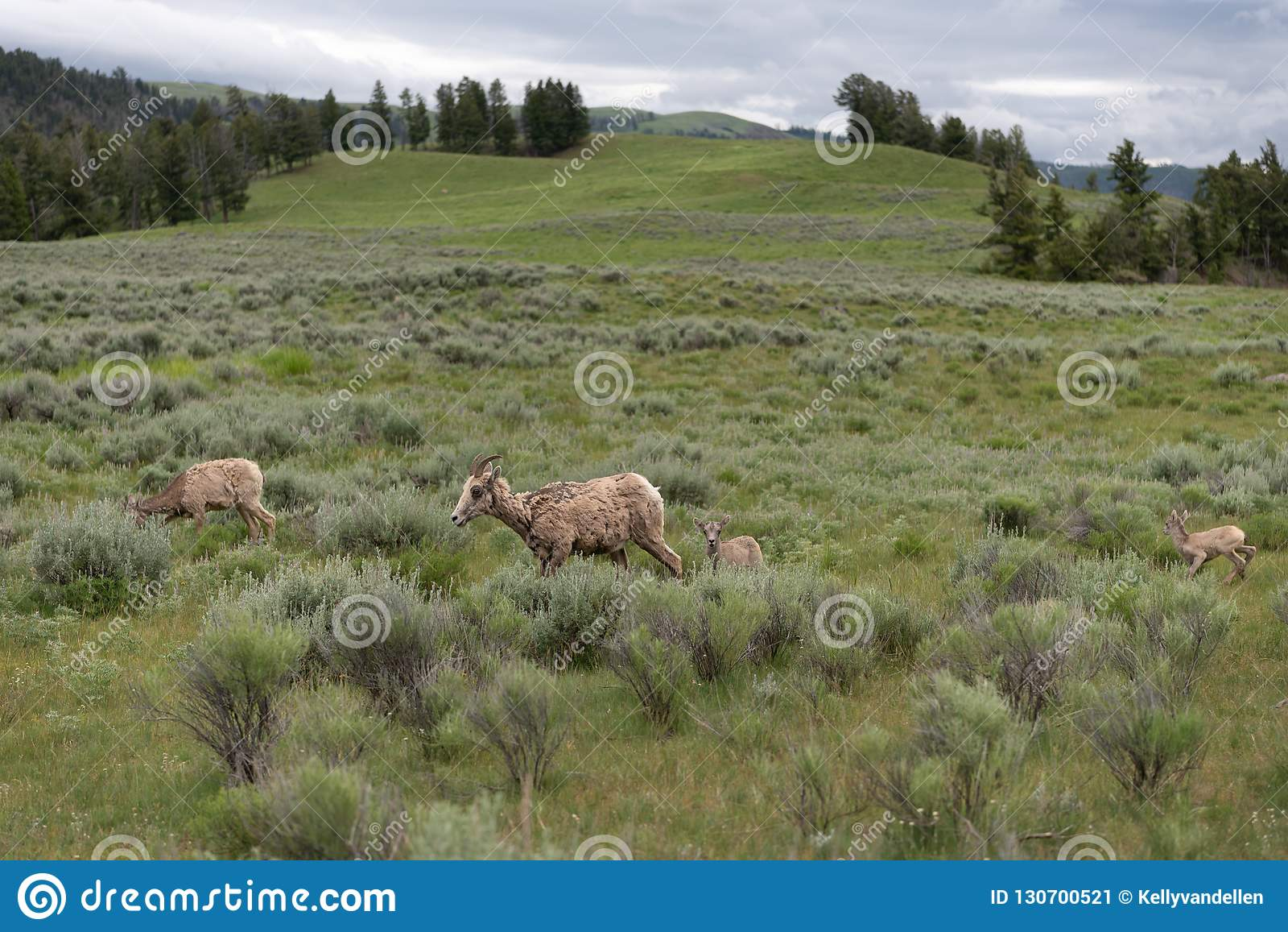 Familly av det stötte ihop med fältet för Bighornfår