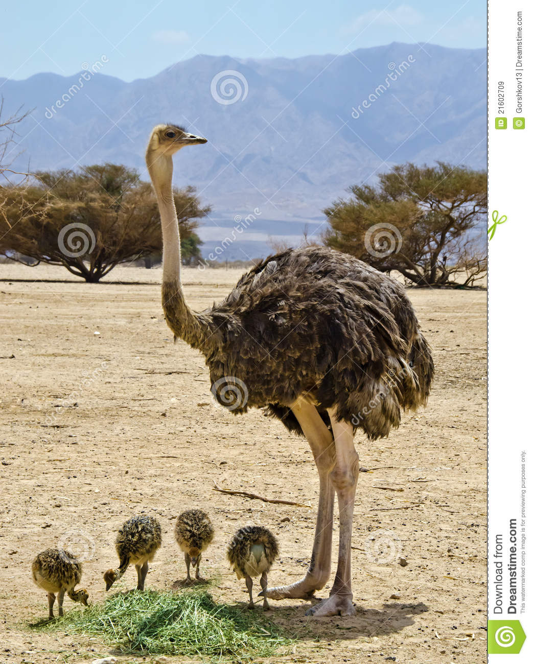 family of african ostrich struthio camelus royalty free