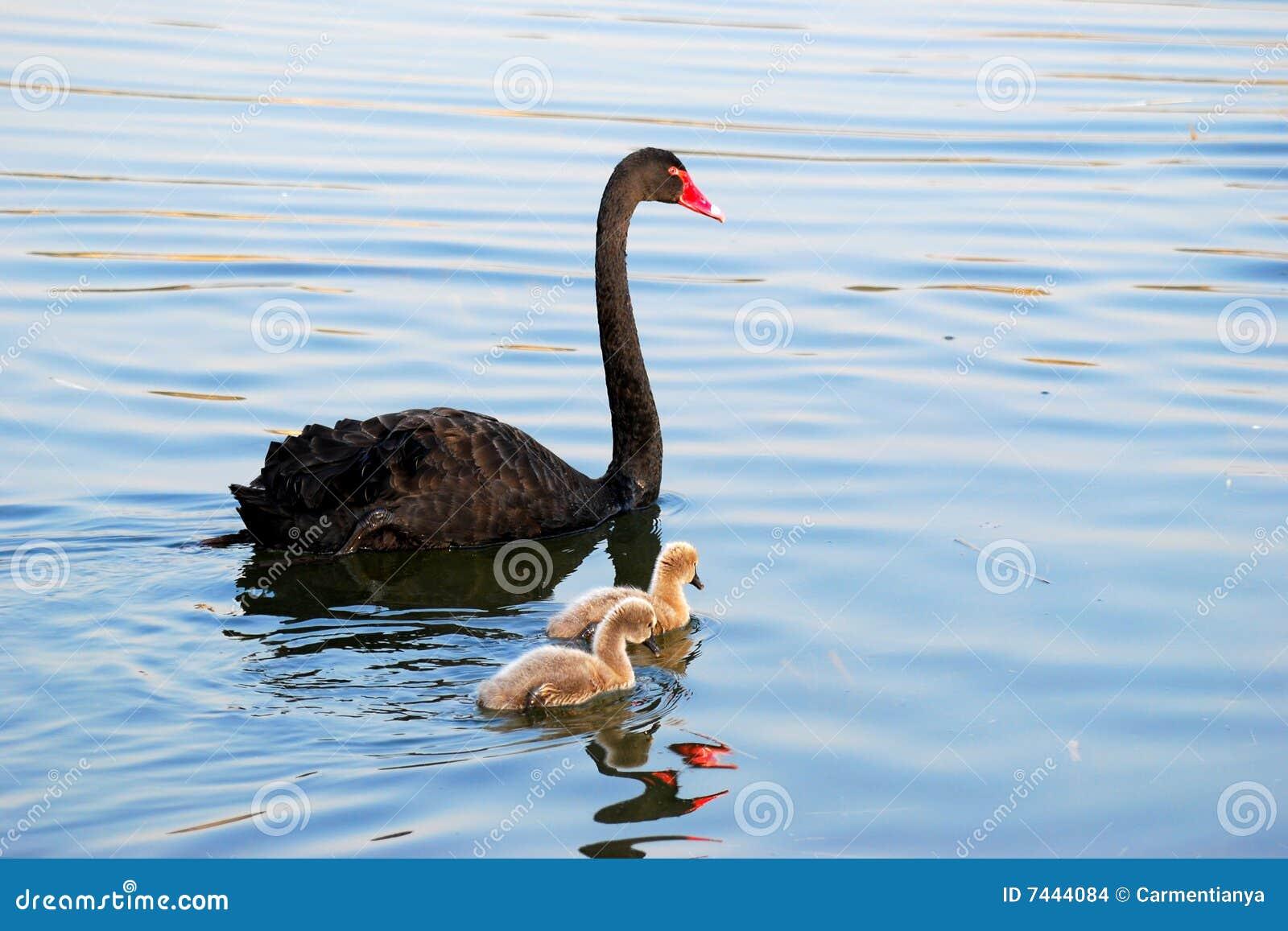 Family of black swan