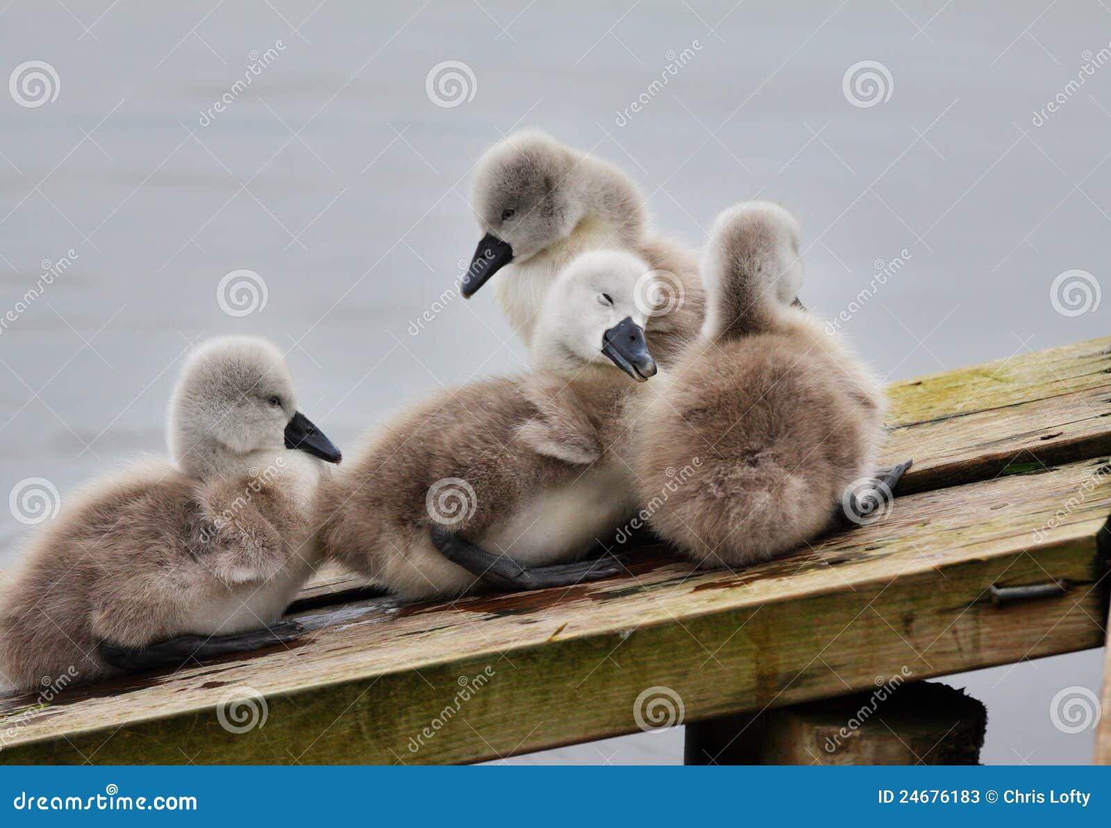 Family of Cygnets huddled together