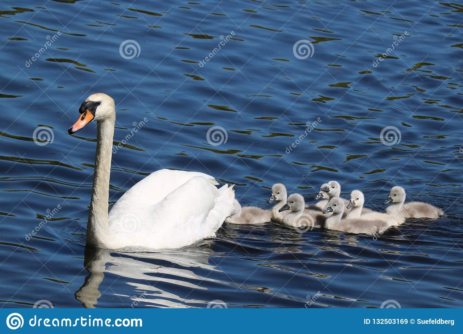 Swan Swimming with Cygnets