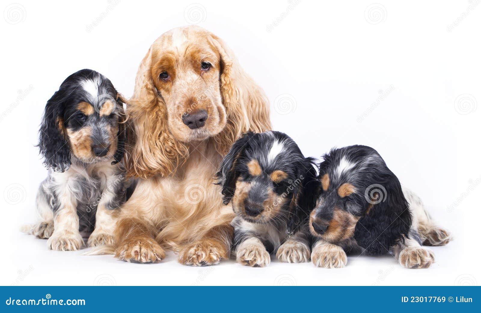 Family English Cocker Spaniel Dogs Royalty Free Stock