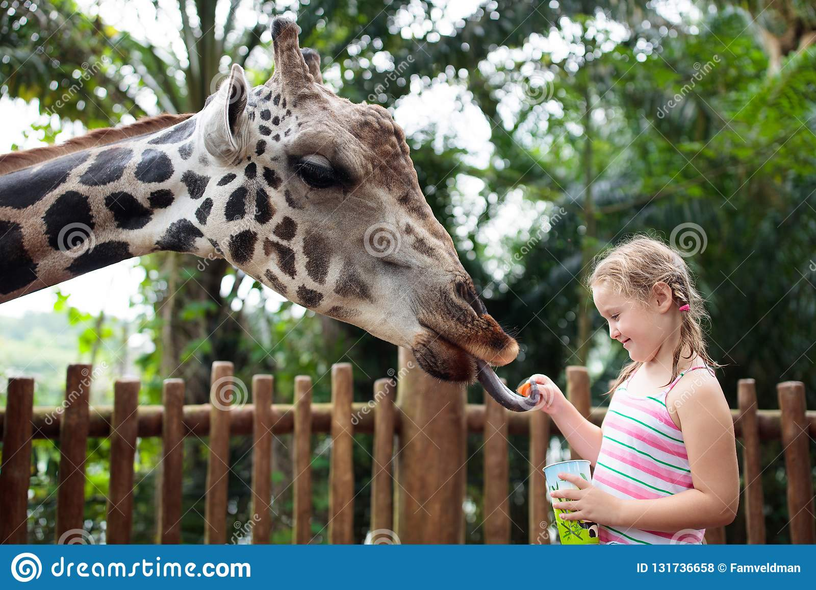 Family feeding giraffe in zoo. Children feed giraffes in tropical safari park during summer vacation. Kids watch animals. Little