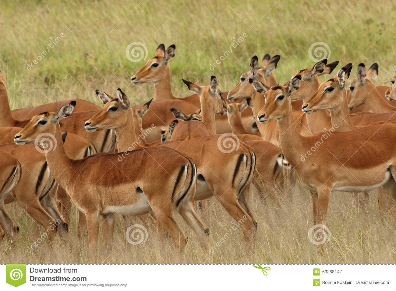 Family of female impala gather together in the Serengeti