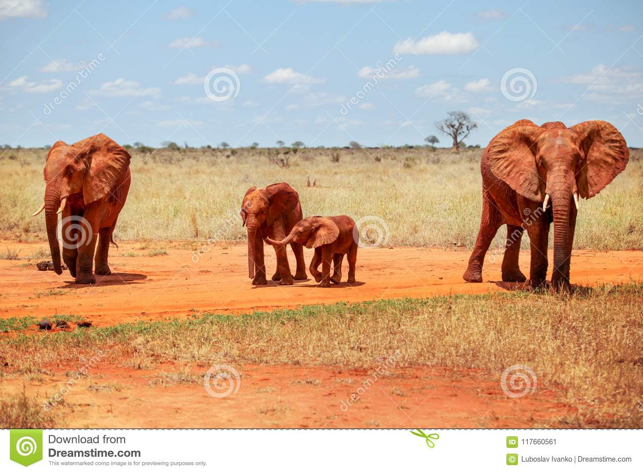 Family of four African bush elephants Loxodonta africana, cove