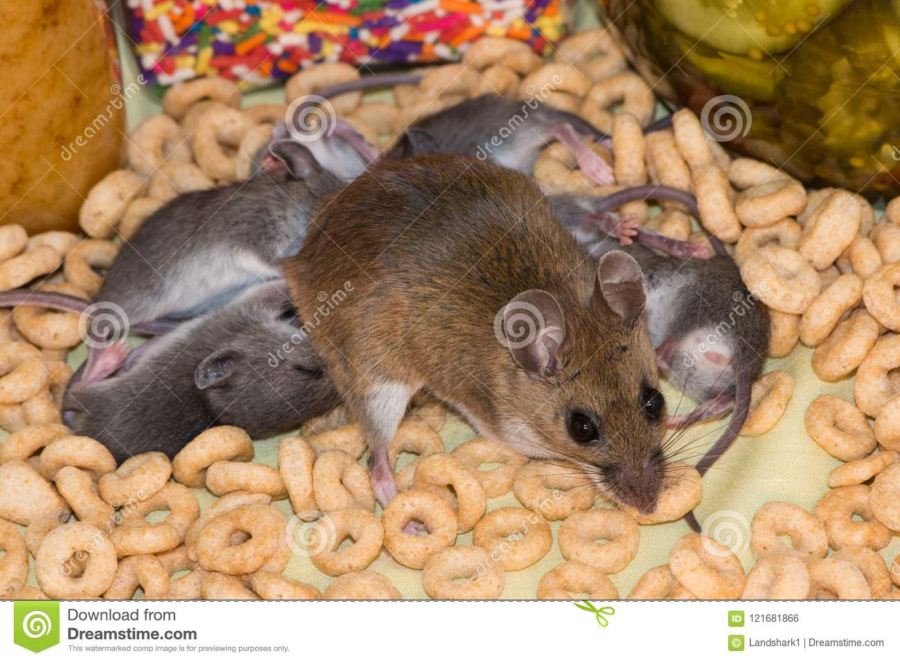 A Family Of Mice Taking Over A Kitchen Cabinet. Stock Photo ...